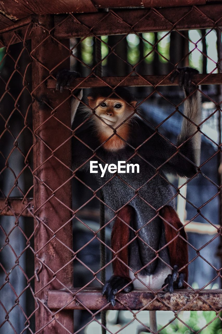 animal themes, one animal, mammal, animal, looking at camera, vertebrate, portrait, animal wildlife, fence, no people, animals in the wild, boundary, barrier, animals in captivity, day, focus on foreground, cage, metal, chainlink fence, primate, outdoors, animal head