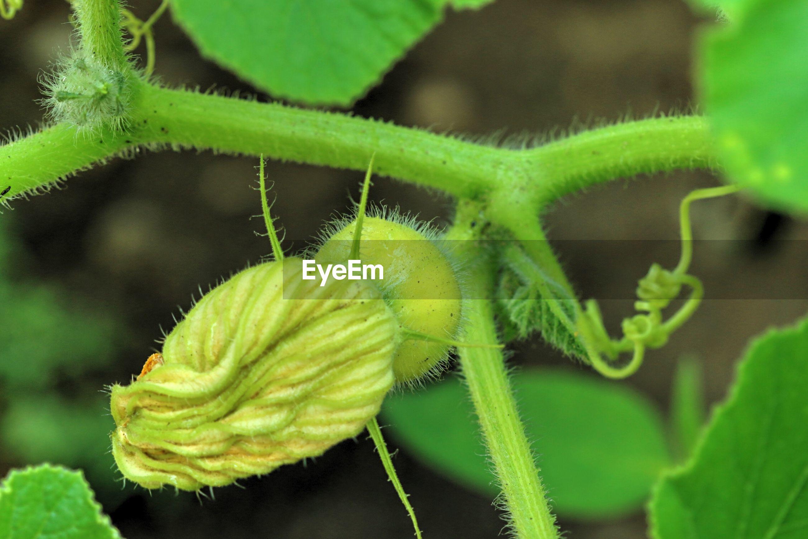 Close-up of green pumpkin plant