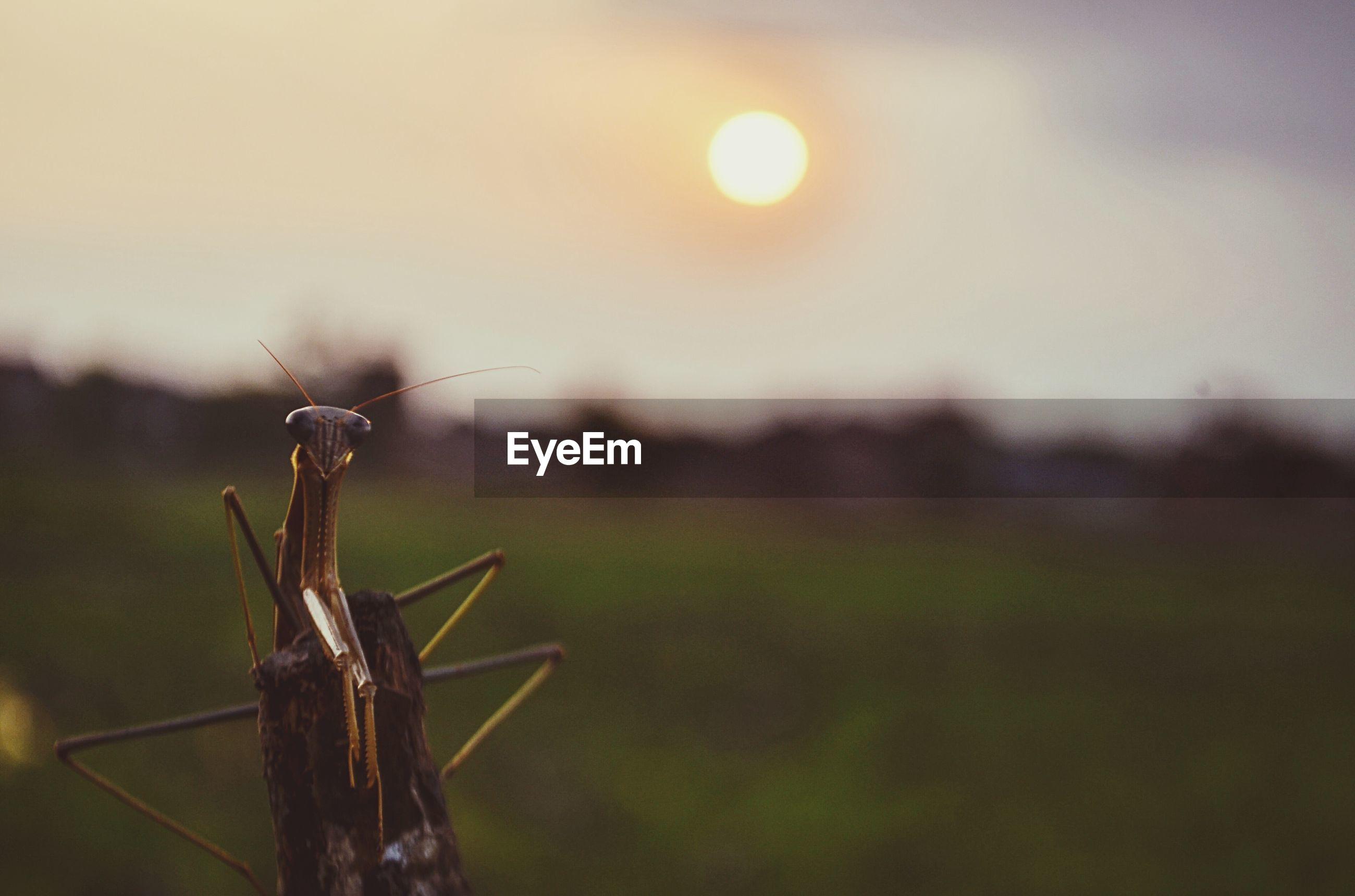 Close-up of praying mantis at sunset