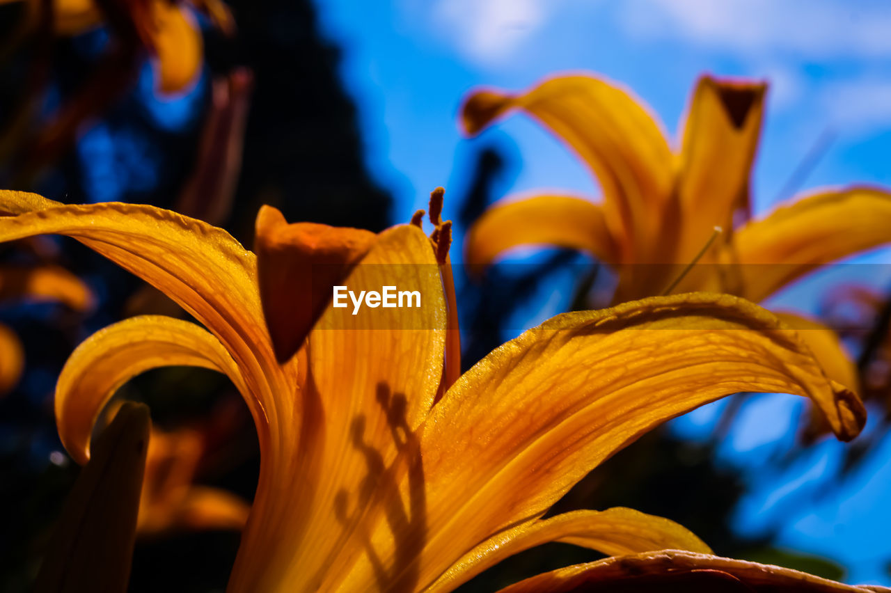 close-up, beauty in nature, inflorescence, growth, flower head, plant, vulnerability, petal, yellow, fragility, freshness, flowering plant, flower, focus on foreground, no people, day lily, lily, pollen, nature, day, outdoors
