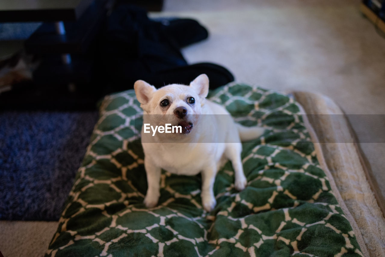mammal, one animal, pets, domestic, domestic animals, dog, canine, vertebrate, portrait, looking at camera, no people, focus on foreground, animal body part, indoors, high angle view, day, close-up, mouth open, animal eye