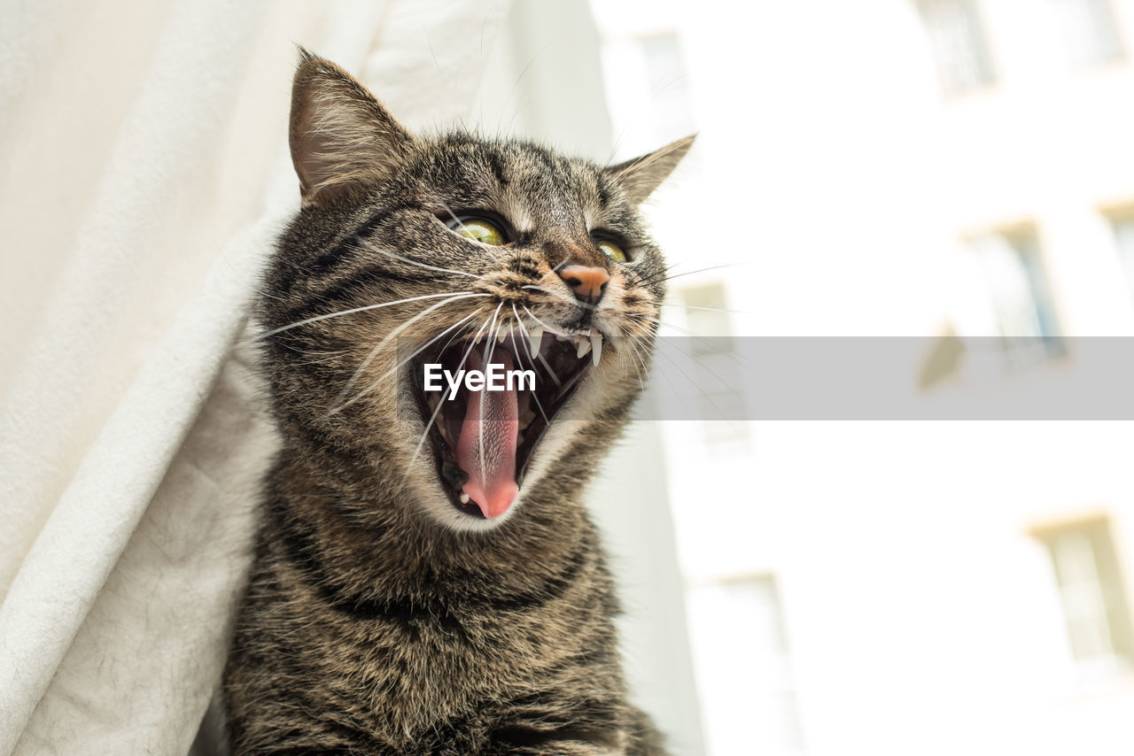 domestic cat, cat, domestic, feline, domestic animals, animal themes, pets, one animal, animal, mammal, vertebrate, mouth open, mouth, facial expression, whisker, no people, indoors, close-up, yawning, home interior, animal head