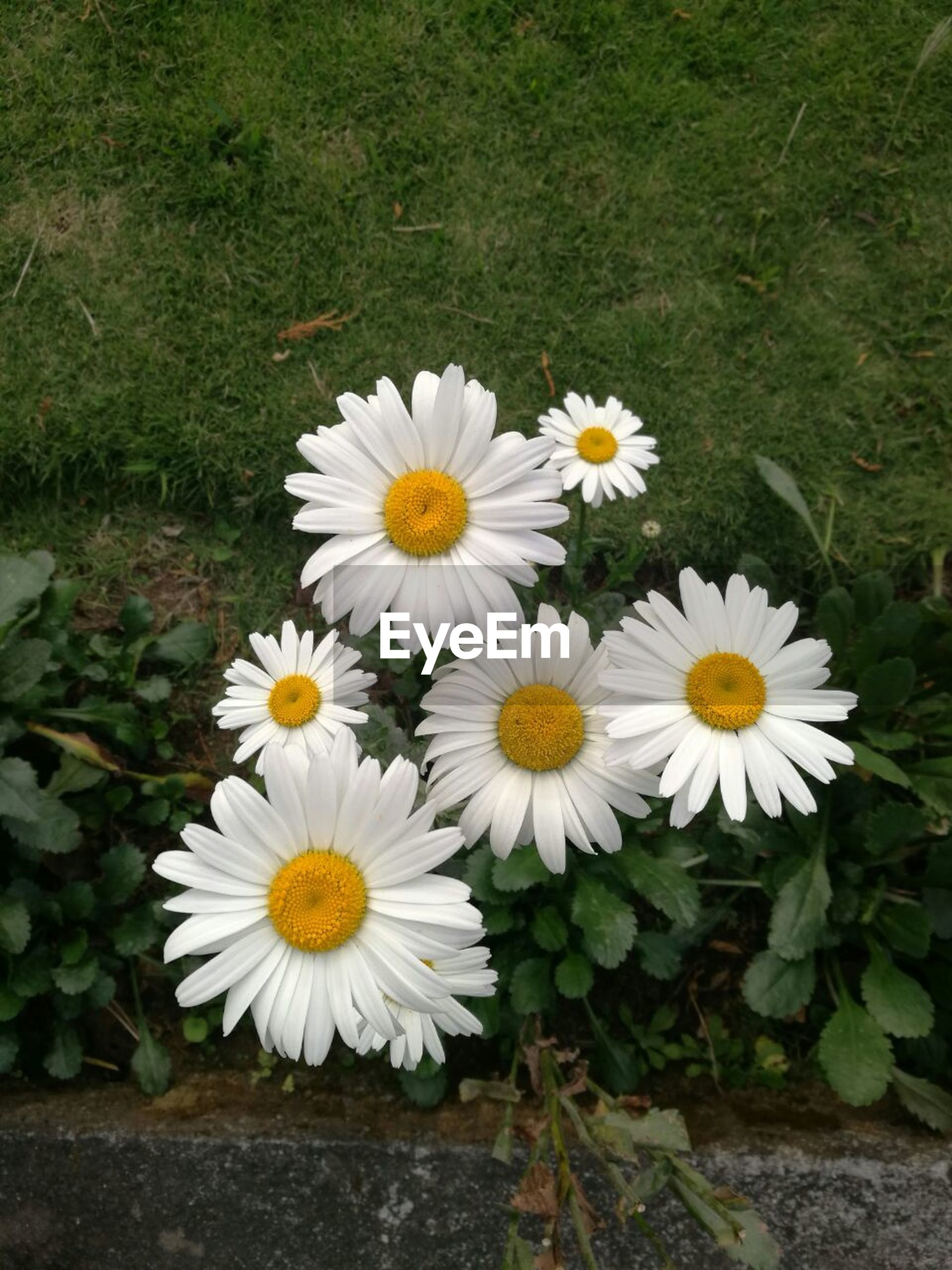 flower, nature, white color, beauty in nature, petal, yellow, growth, fragility, freshness, outdoors, plant, no people, day, flower head, blooming, grass, close-up