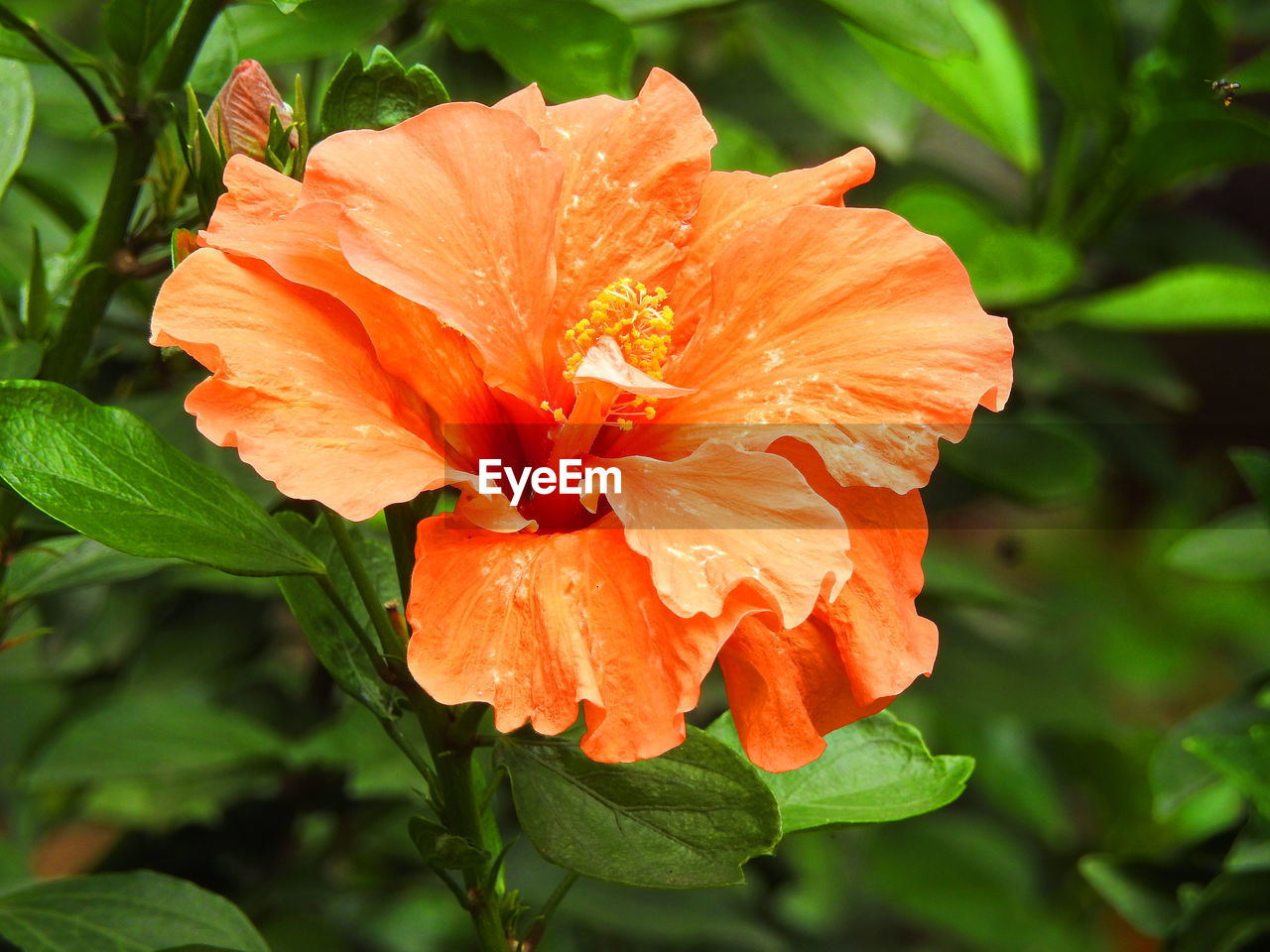flower, petal, growth, nature, plant, flower head, beauty in nature, fragility, freshness, orange color, leaf, blooming, outdoors, no people, day, close-up, hibiscus