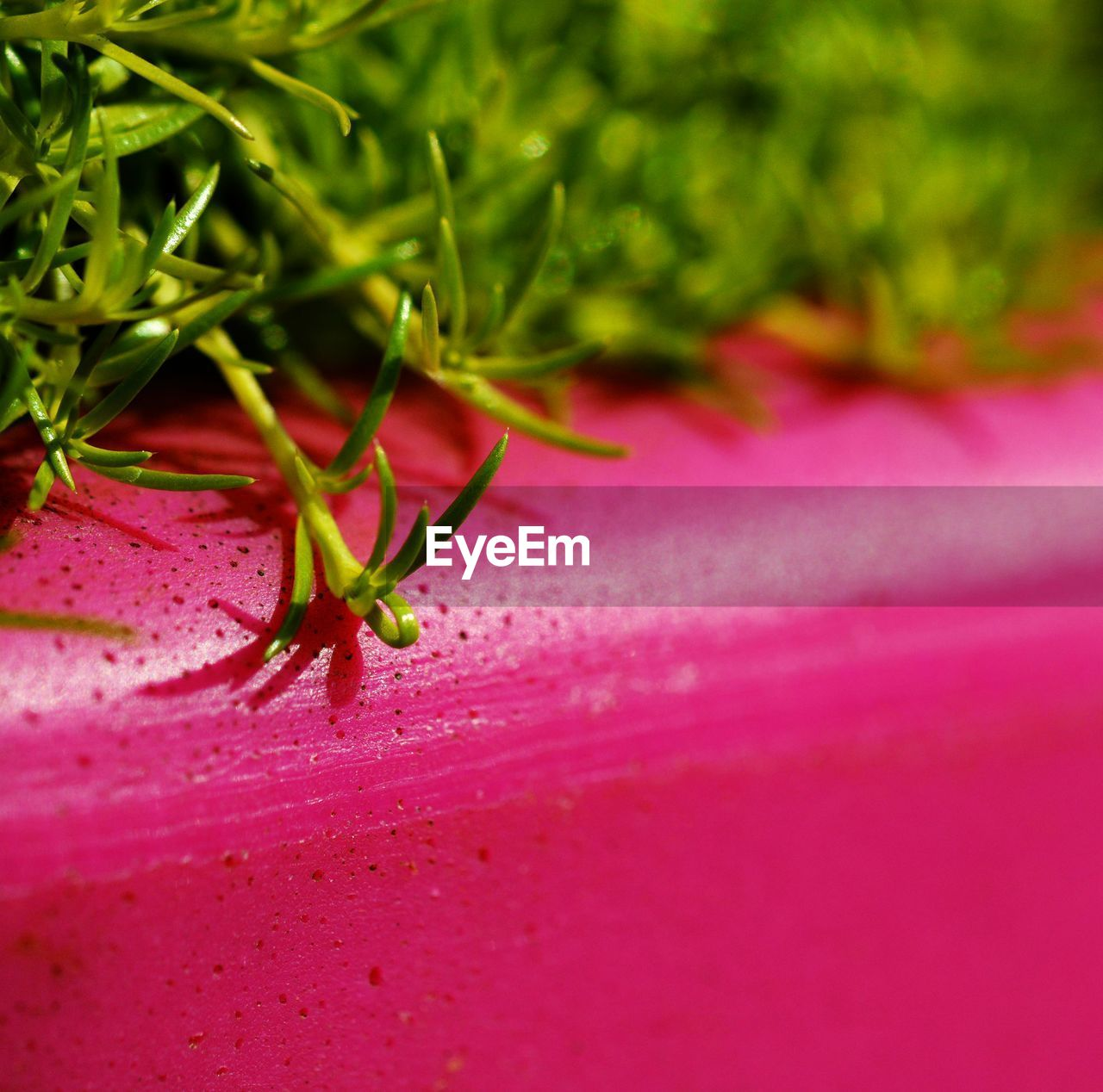 close-up, pink color, green color, freshness, selective focus, growth, plant, no people, food and drink, nature, food, beauty in nature, day, vulnerability, fragility, flower, healthy eating, indoors, wellbeing, sepal