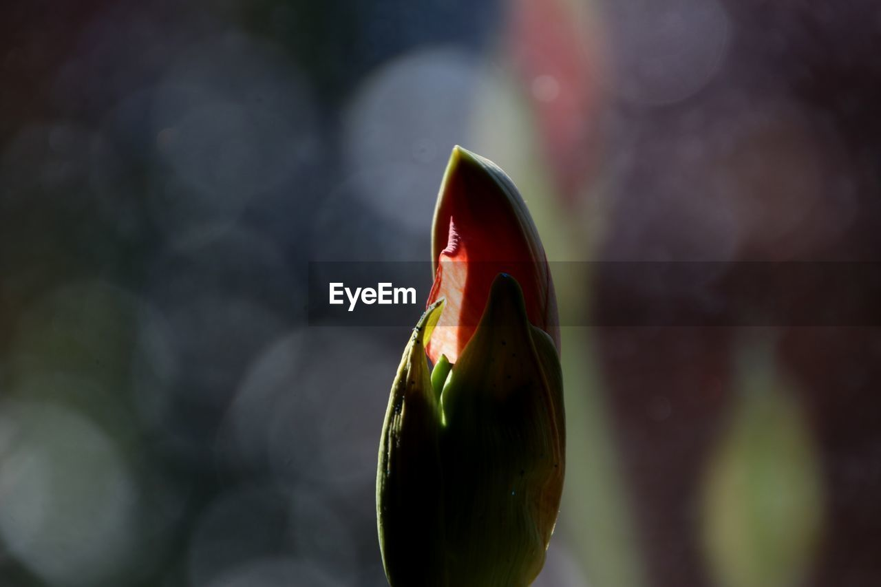 focus on foreground, close-up, red, freshness, no people, flower, growth, new life, beginnings, bud, flowering plant, nature, beauty in nature, plant, day, fragility, vulnerability, food, selective focus, outdoors