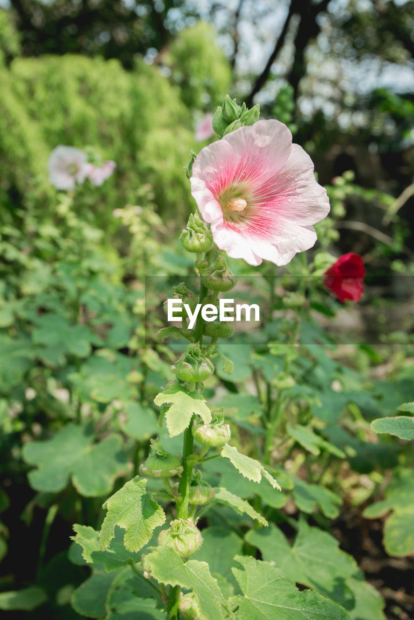 flower, growth, petal, fragility, nature, green color, flower head, focus on foreground, beauty in nature, day, plant, no people, blooming, outdoors, pink color, freshness, close-up, leaf, hibiscus