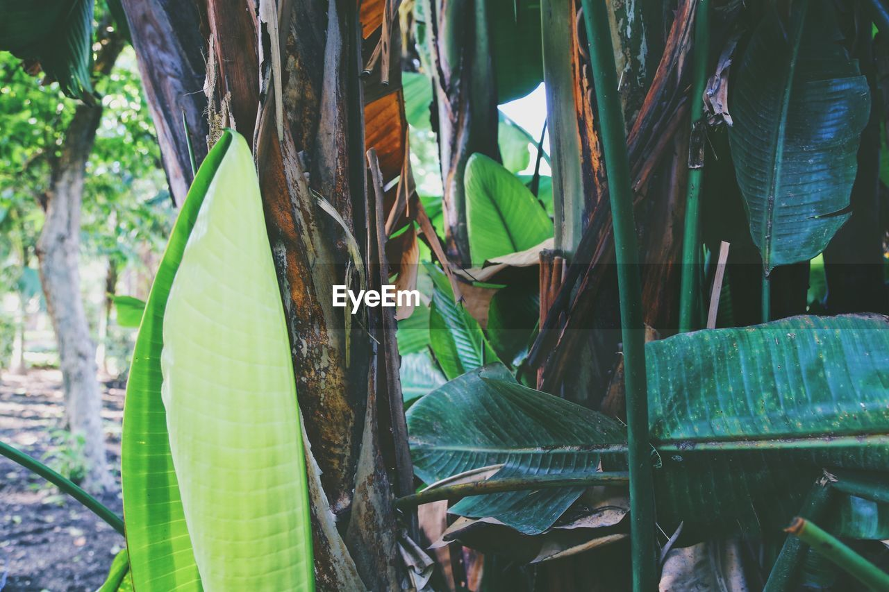 leaf, plant part, green color, plant, growth, close-up, nature, no people, day, beauty in nature, focus on foreground, outdoors, land, tranquility, sunlight, banana, banana tree, freshness, animal, leaves, bamboo - plant