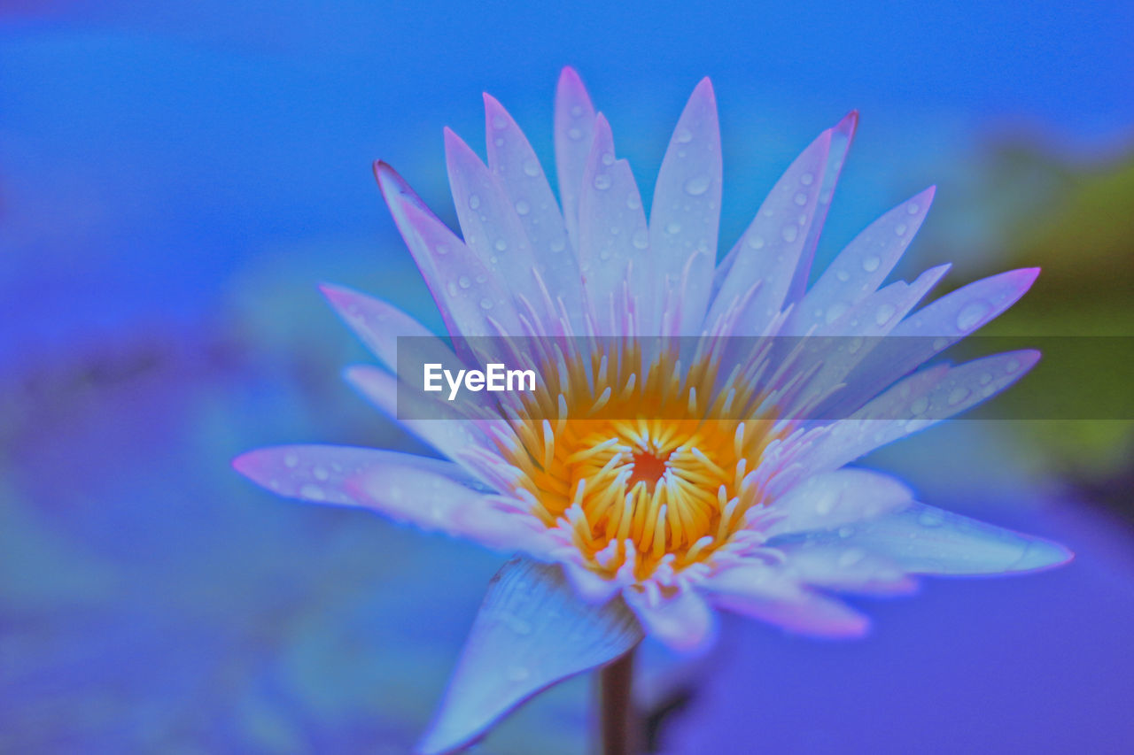 flowering plant, flower, vulnerability, fragility, petal, freshness, beauty in nature, flower head, inflorescence, plant, growth, close-up, nature, no people, pollen, water, blue, focus on foreground, purple, soft focus, focus
