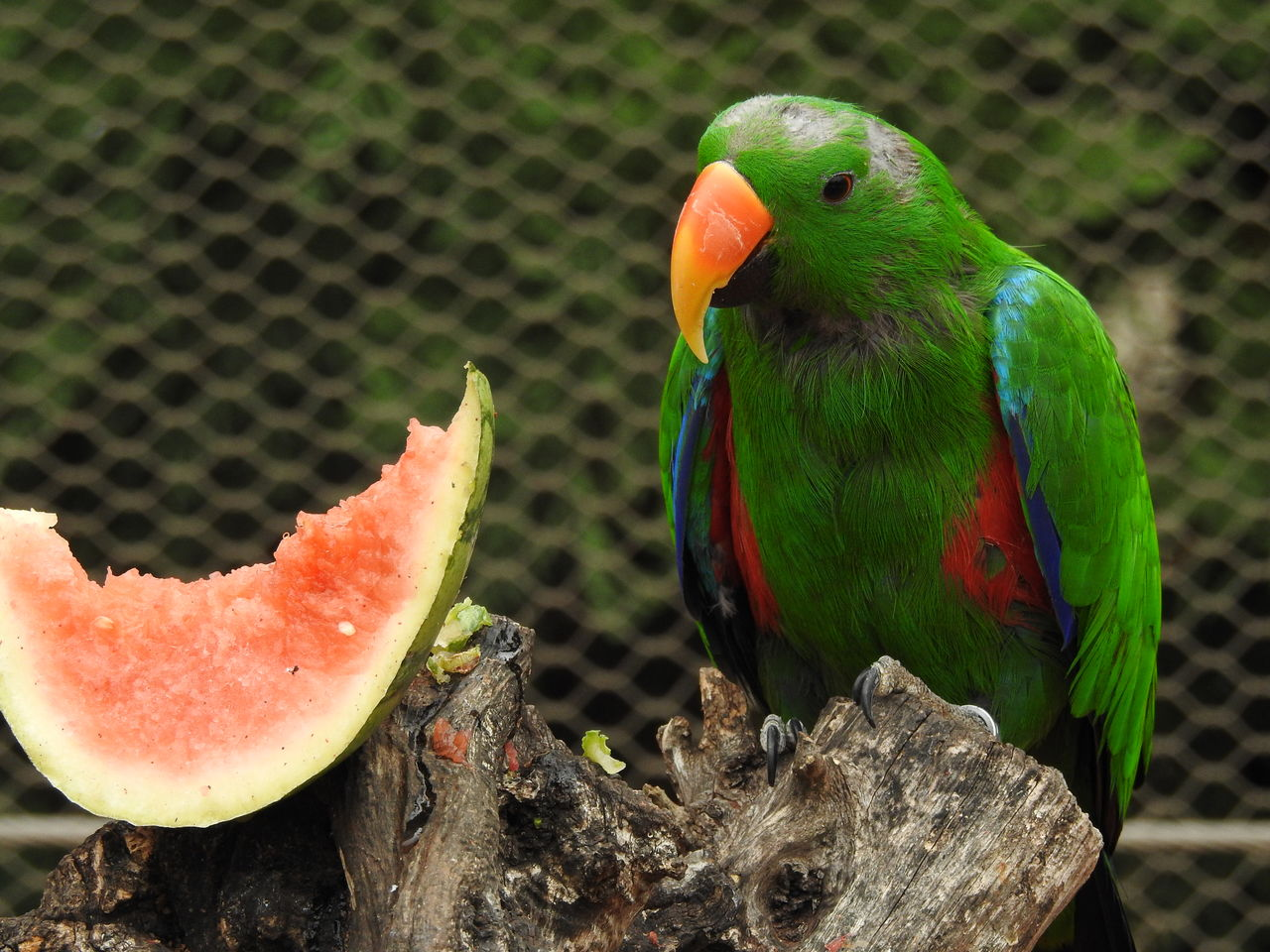 vertebrate, animal, animal wildlife, animal themes, animals in the wild, parrot, bird, one animal, no people, close-up, perching, focus on foreground, day, green color, nature, multi colored, animals in captivity, cage, outdoors, fruit