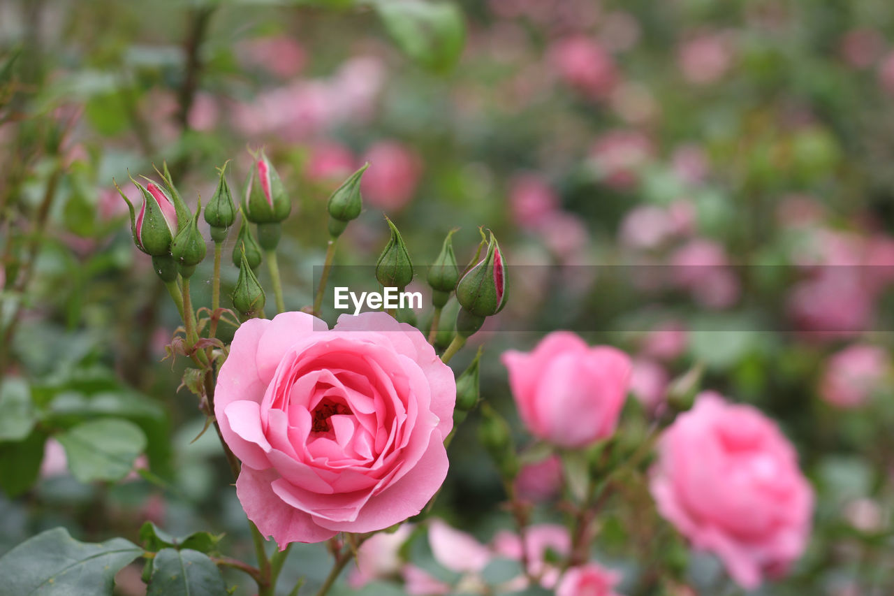 CLOSE-UP OF PINK ROSE IN GARDEN