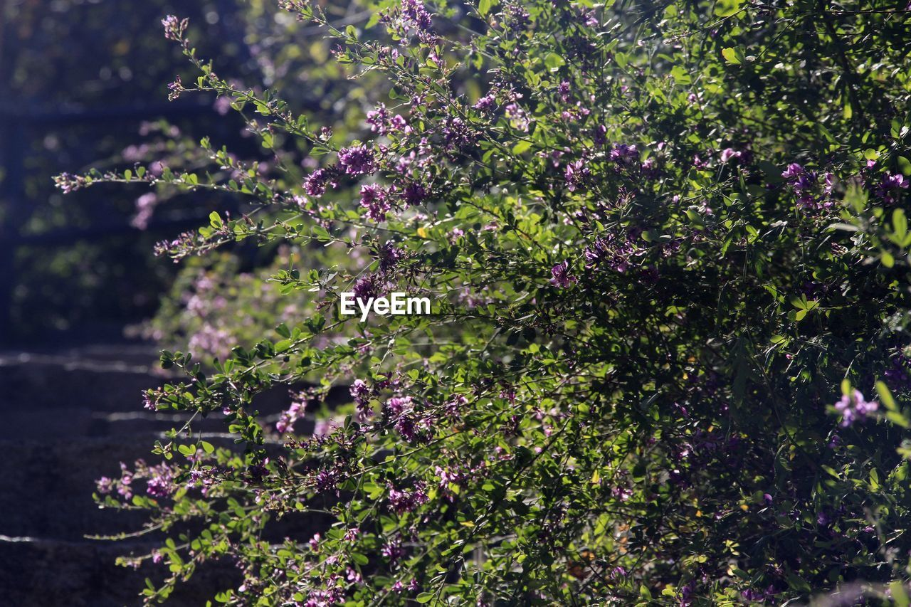 plant, growth, flower, flowering plant, beauty in nature, freshness, fragility, vulnerability, nature, day, purple, no people, outdoors, tranquility, selective focus, close-up, tree, pink color, blossom, sunlight, springtime, lilac, spring