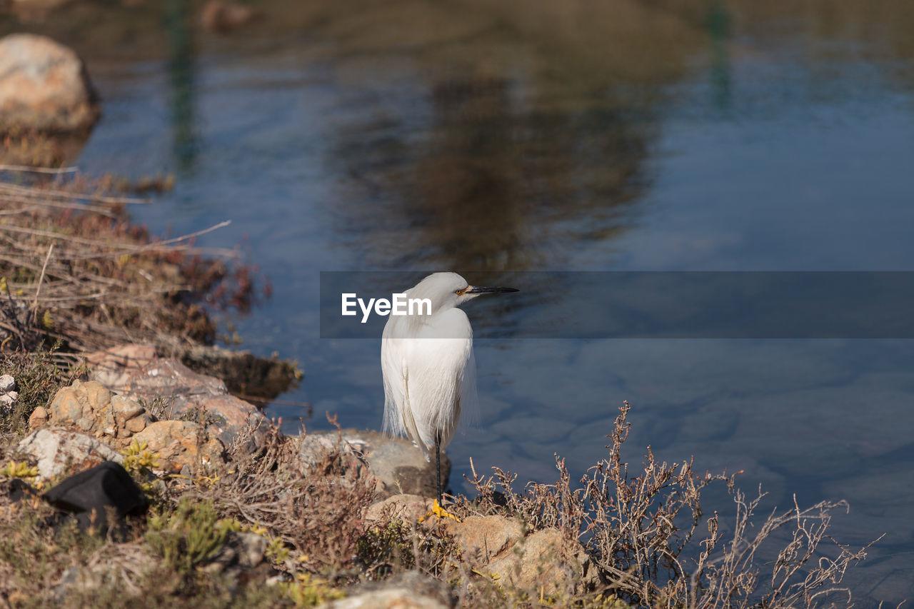 Snowy Egret On Lakeshore