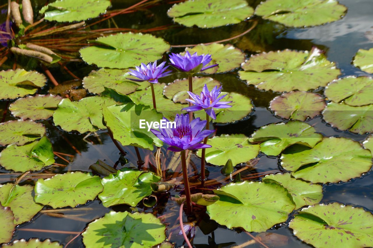 flower, plant, flowering plant, beauty in nature, freshness, leaf, plant part, water, growth, vulnerability, fragility, nature, petal, lake, water lily, close-up, purple, floating, day, flower head, floating on water, no people, outdoors, lotus water lily