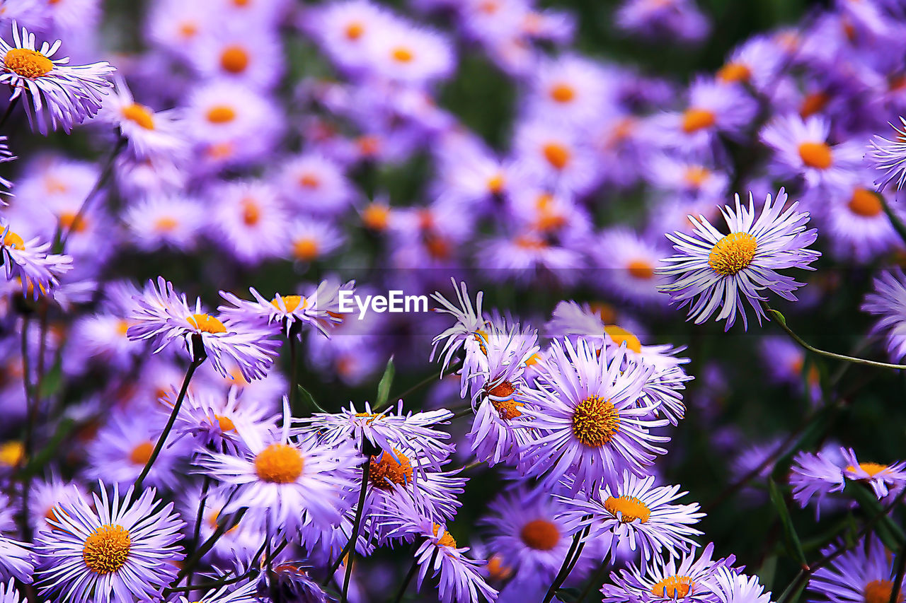 flower, petal, fragility, nature, growth, beauty in nature, plant, freshness, flower head, no people, day, blooming, outdoors, purple, close-up