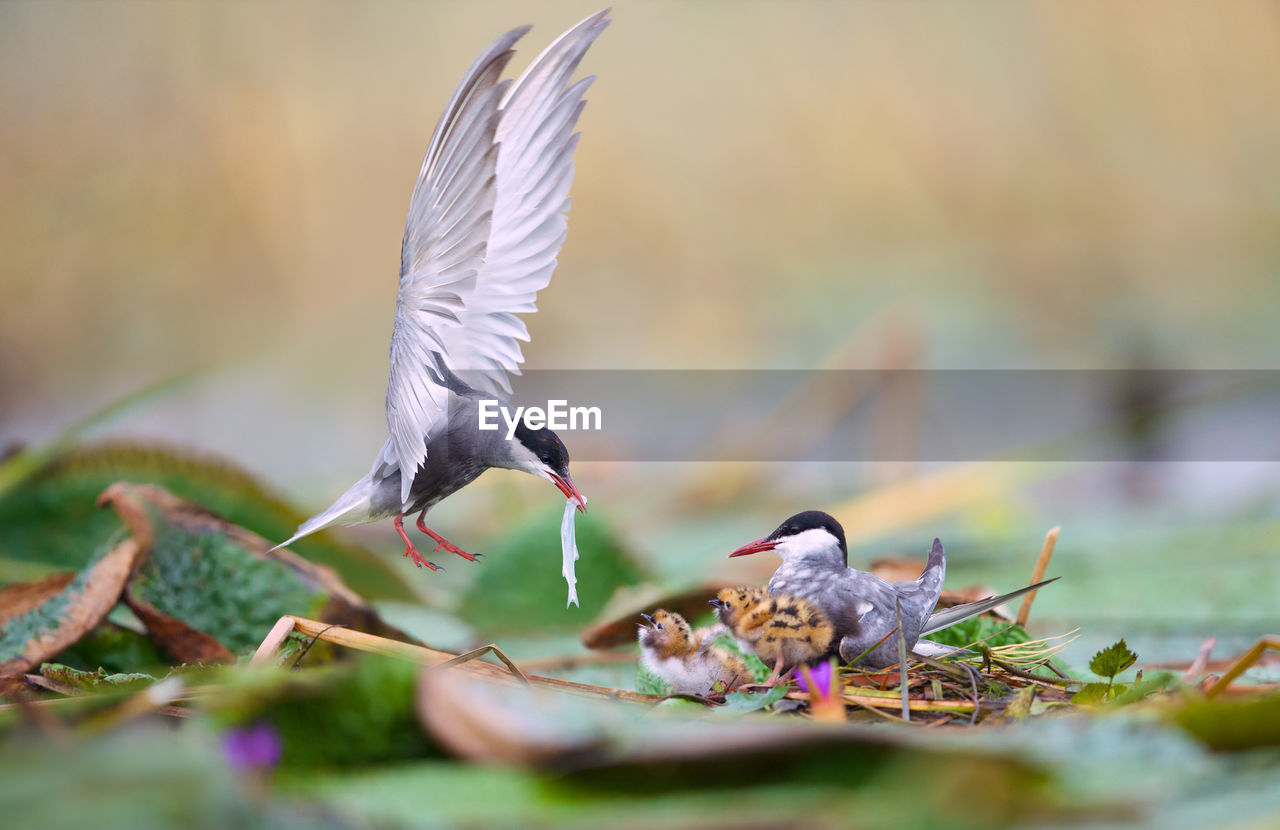 Tern Feeding Young Birds On Leaves
