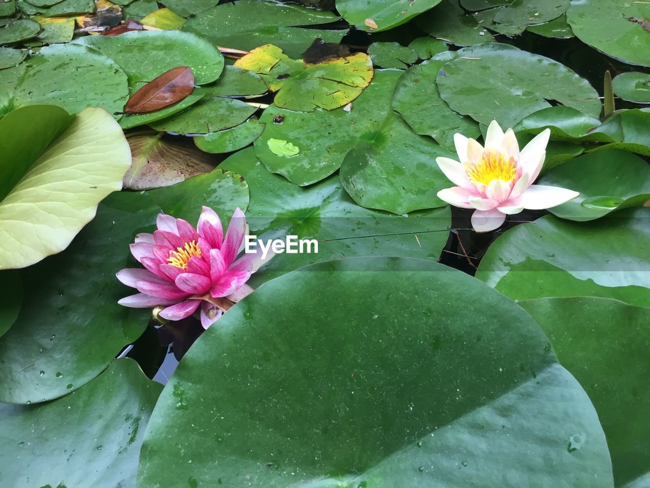 flower, pond, water lily, leaf, growth, beauty in nature, nature, lotus water lily, petal, fragility, freshness, lily pad, flower head, floating on water, lotus, plant, water, outdoors, day, pink color, no people, blooming, close-up, green color