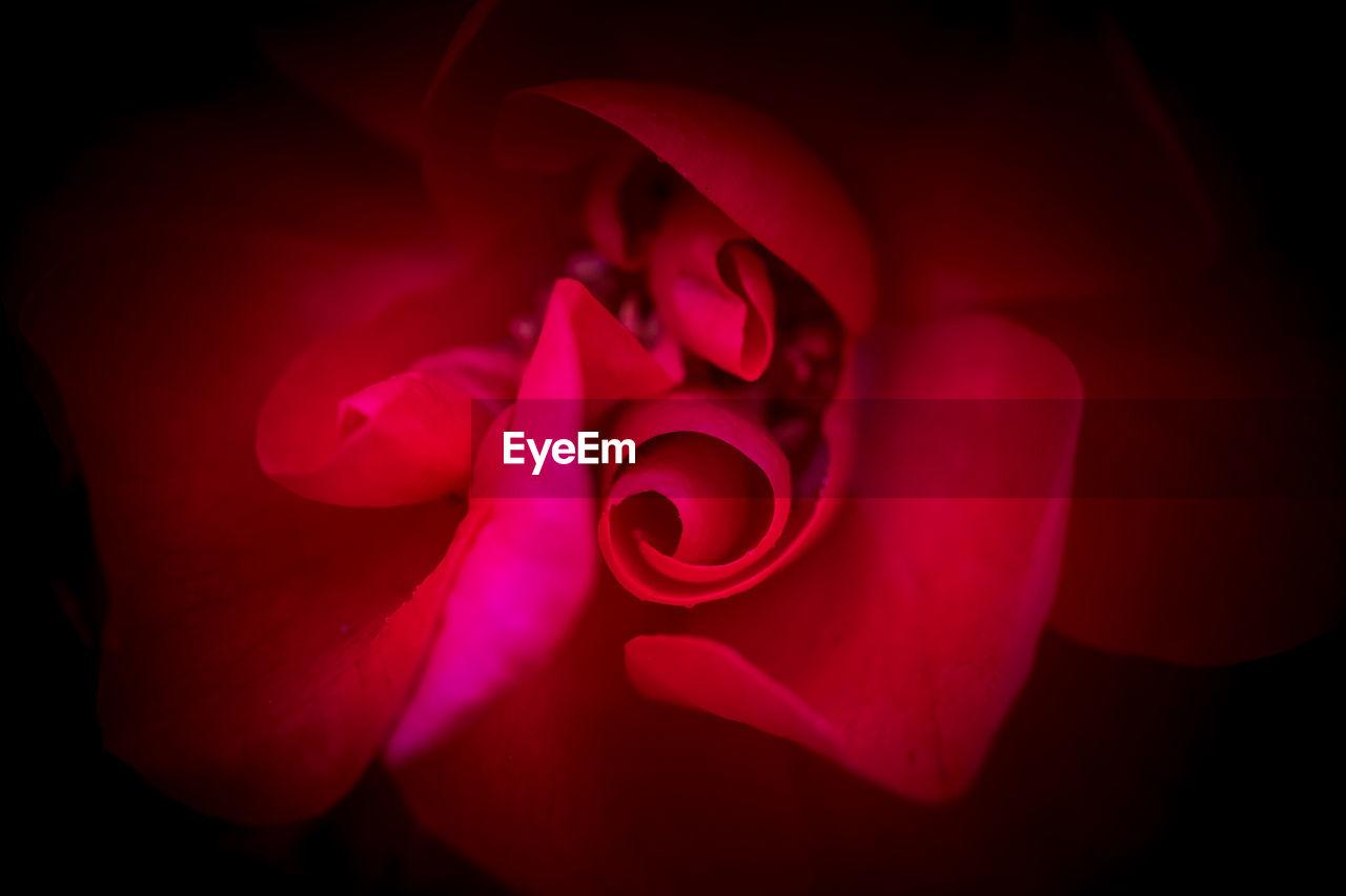 red, petal, flower, close-up, beauty in nature, fragility, plant, flower head, flowering plant, inflorescence, vulnerability, freshness, no people, rose, nature, indoors, pink color, rose - flower, studio shot, black background
