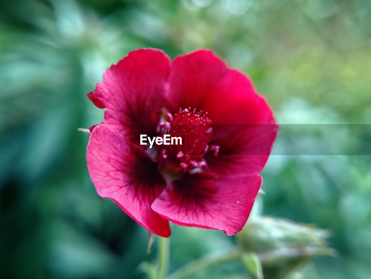 flower, nature, beauty in nature, petal, red, fragility, no people, day, outdoors, plant, growth, flower head, focus on foreground, close-up, blooming, freshness