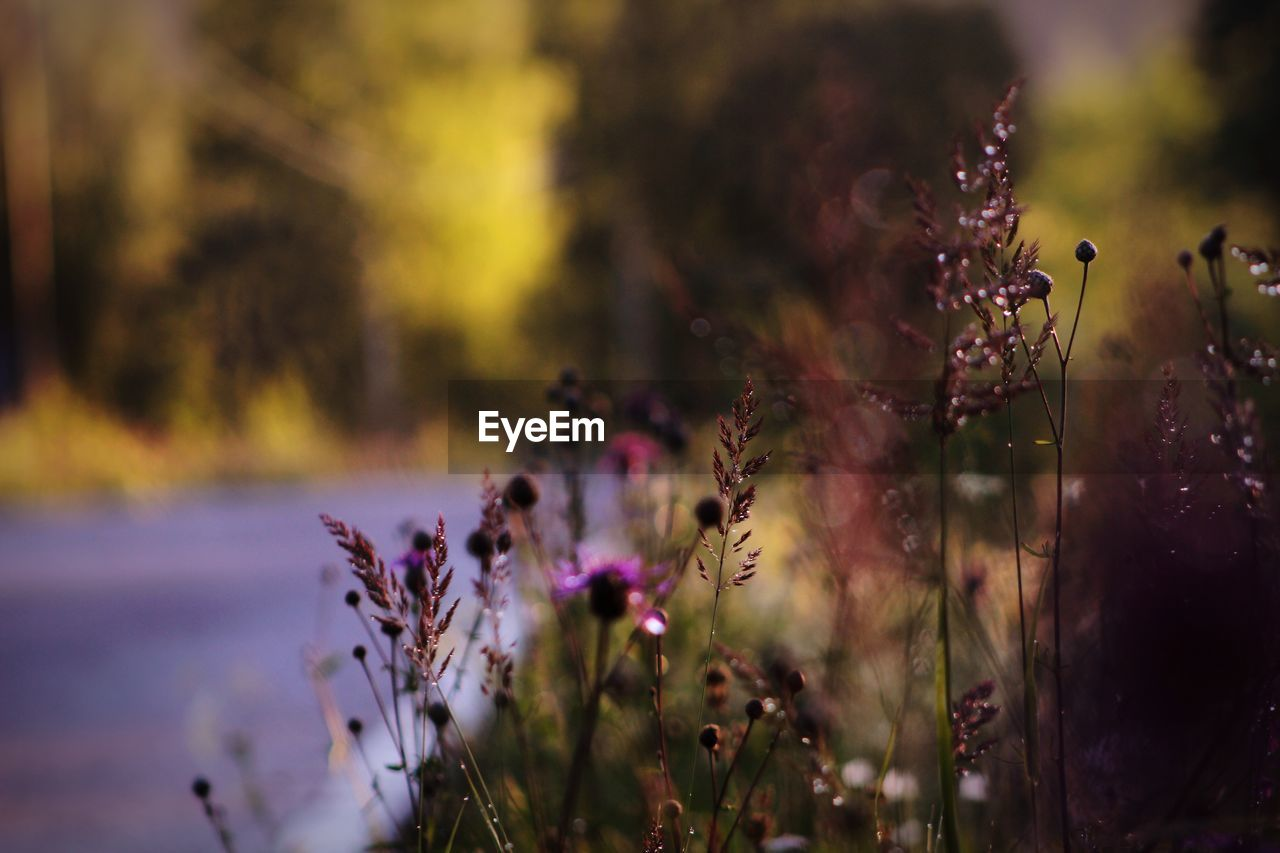 flower, flowering plant, plant, fragility, vulnerability, beauty in nature, growth, freshness, close-up, nature, field, land, selective focus, focus on foreground, no people, day, purple, outdoors, petal, tranquility, flower head