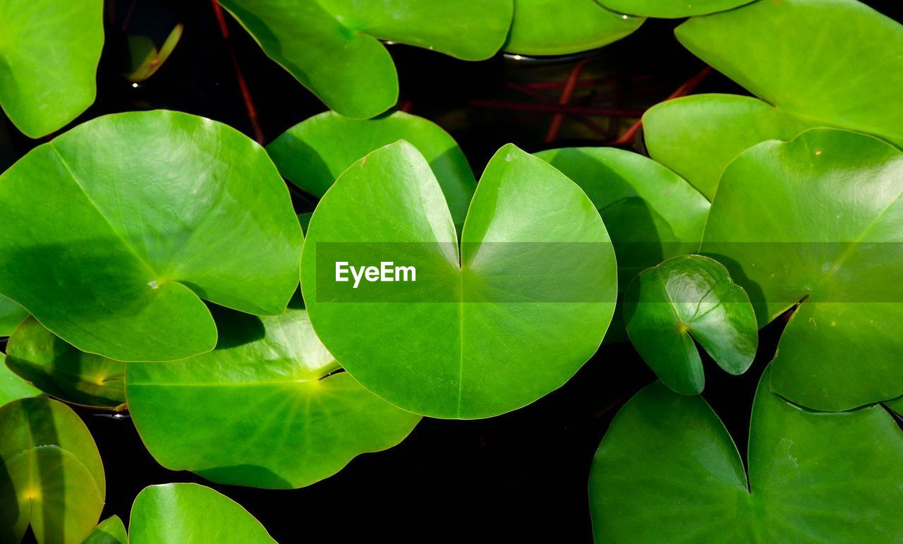 plant part, leaf, green color, plant, close-up, growth, beauty in nature, freshness, nature, no people, day, outdoors, water lily, vulnerability, high angle view, directly above, flower, fragility, full frame, green, leaves, clover