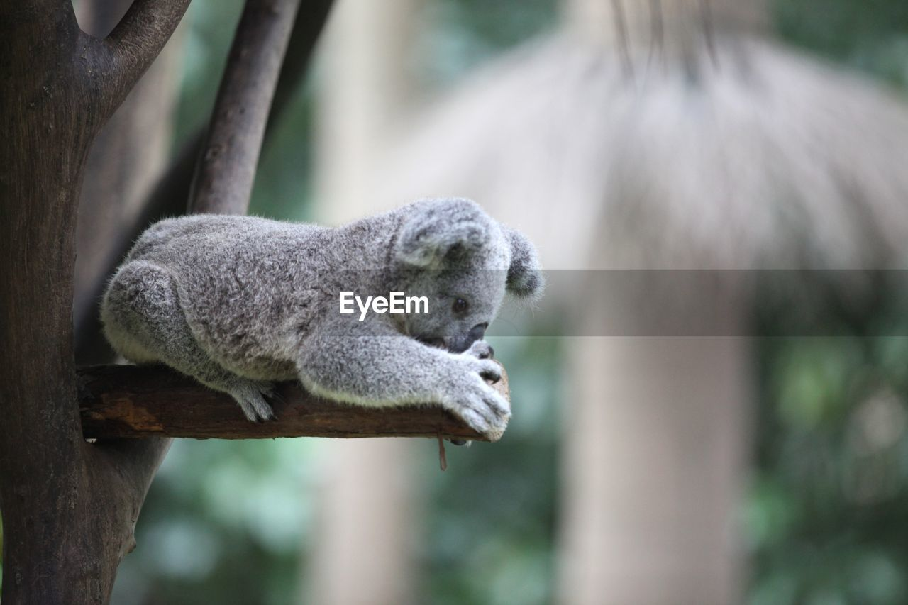 Close-up of koala on tree branch