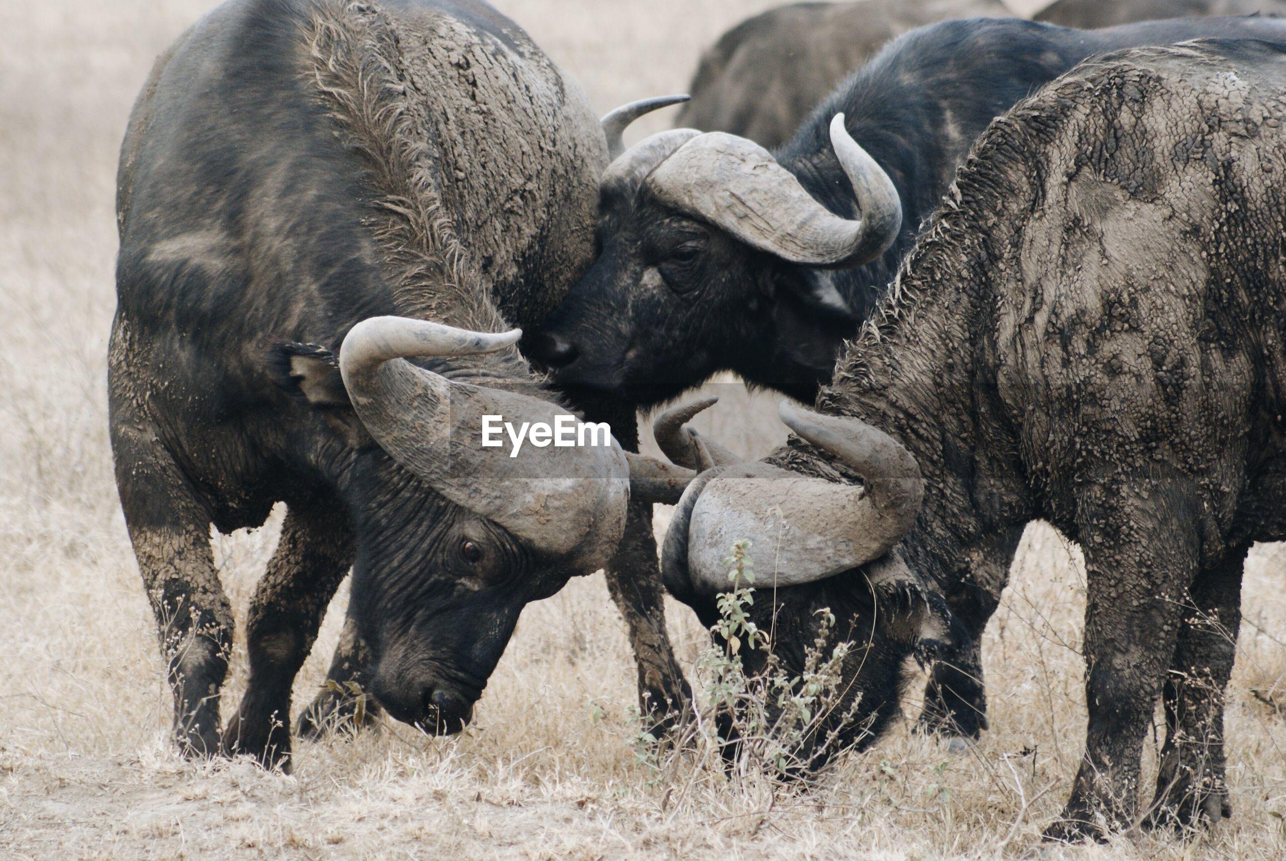 Buffaloes standing on land