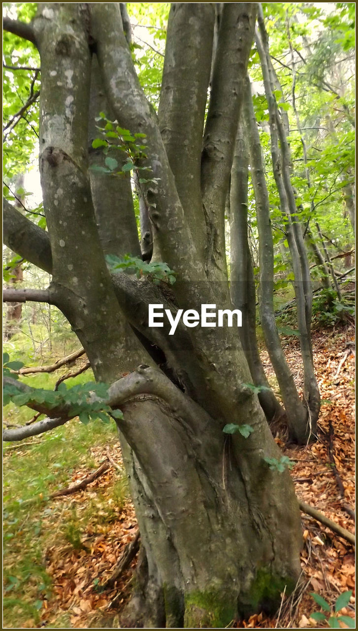 tree, tree trunk, nature, forest, growth, day, outdoors, branch, no people, tranquility, beauty in nature