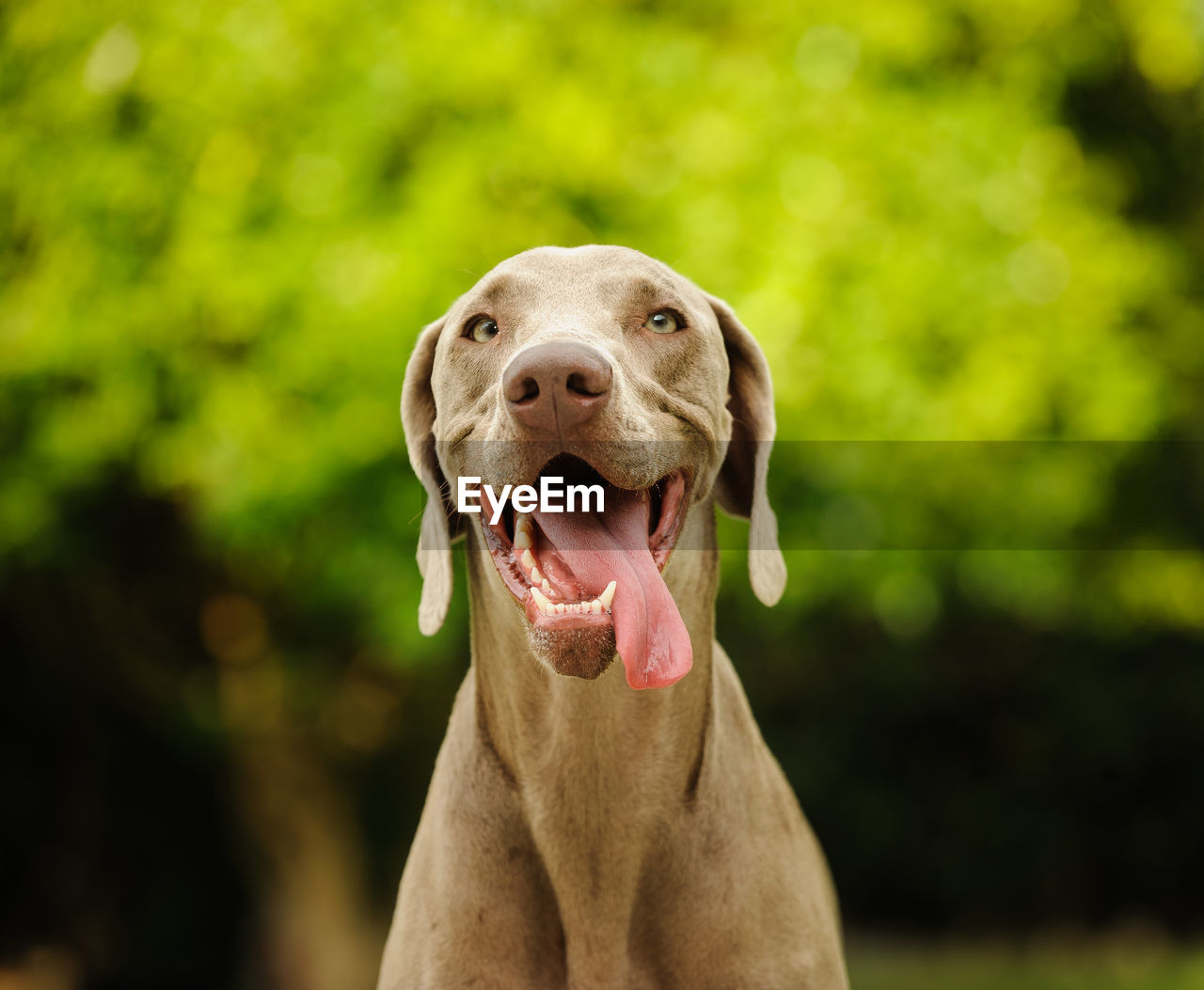 one animal, dog, canine, animal themes, domestic, pets, mammal, animal, domestic animals, portrait, weimaraner, vertebrate, looking at camera, focus on foreground, sticking out tongue, facial expression, close-up, day, no people, mouth open, panting, animal tongue, animal mouth, purebred dog