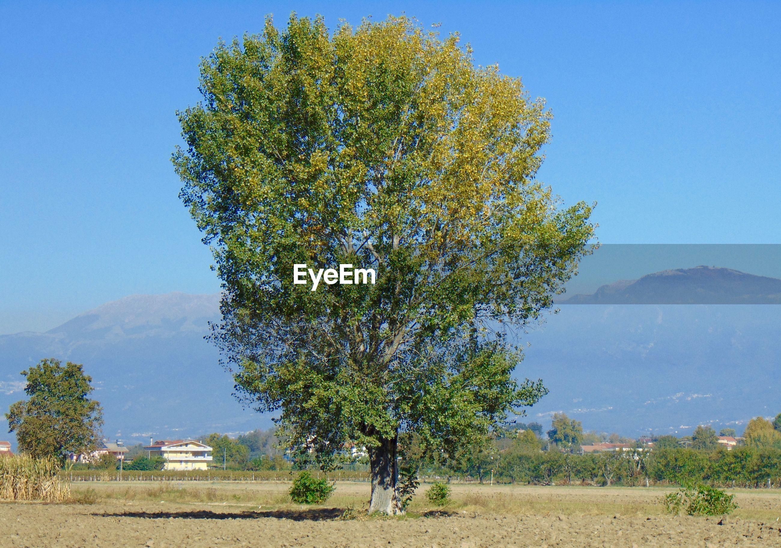 TREE IN FIELD AGAINST CLEAR SKY