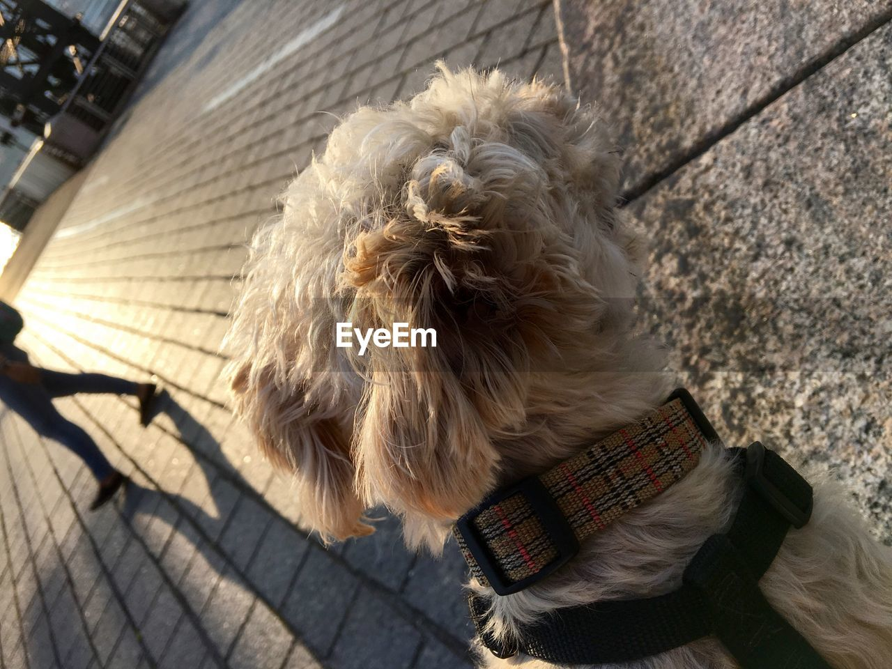 dog, one animal, domestic animals, pets, animal themes, outdoors, animal hair, day, mammal, rear view, one person, real people, sunlight, lifestyles, pet clothing, beard, blond hair, city, close-up, people