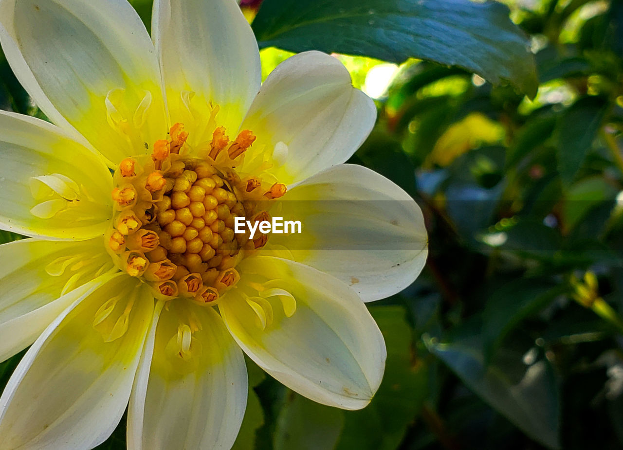 flowering plant, flower, fragility, vulnerability, plant, petal, beauty in nature, freshness, growth, flower head, inflorescence, close-up, yellow, pollen, nature, focus on foreground, day, no people, white color, outdoors
