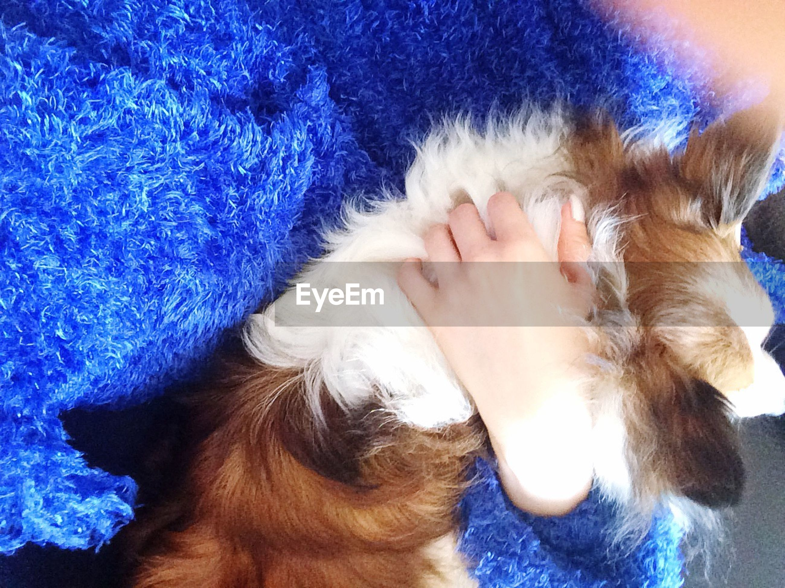 pets, domestic animals, one animal, mammal, animal themes, dog, domestic cat, cat, relaxation, indoors, lying down, part of, close-up, pet owner, resting, feline, blue