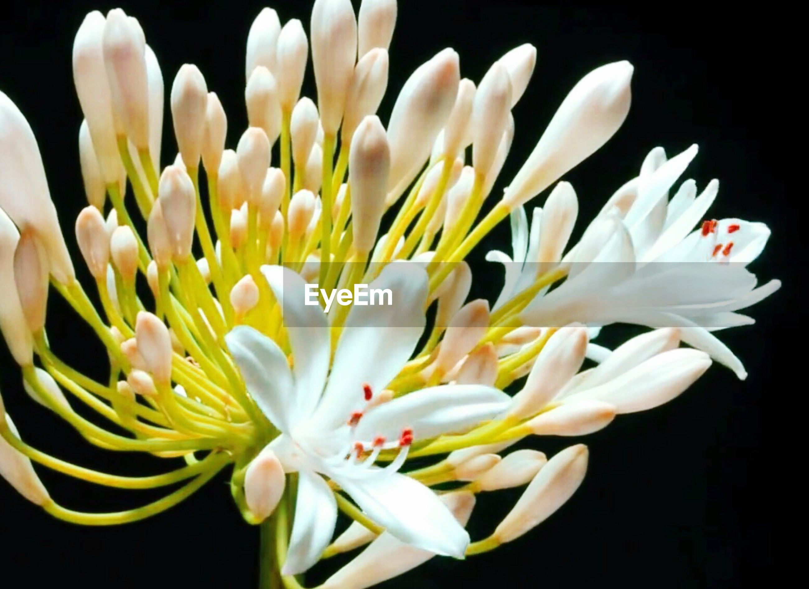 flower, petal, fragility, freshness, nature, beauty in nature, flower head, black background, plant, blossom, growth, close-up, no people, day, blooming, outdoors