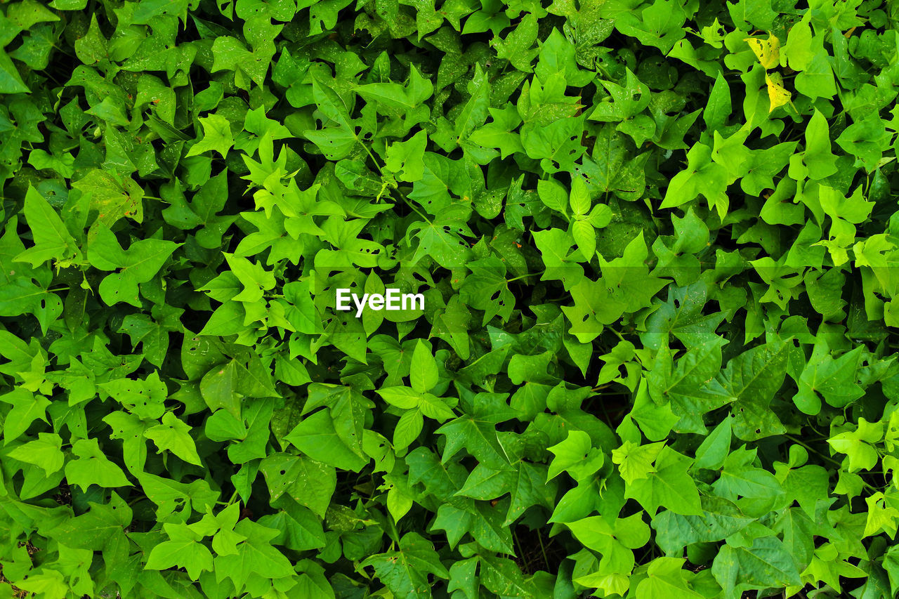 green color, growth, plant, full frame, leaf, plant part, backgrounds, beauty in nature, nature, no people, day, foliage, outdoors, lush foliage, close-up, high angle view, tranquility, freshness, field, abundance, clover, leaves