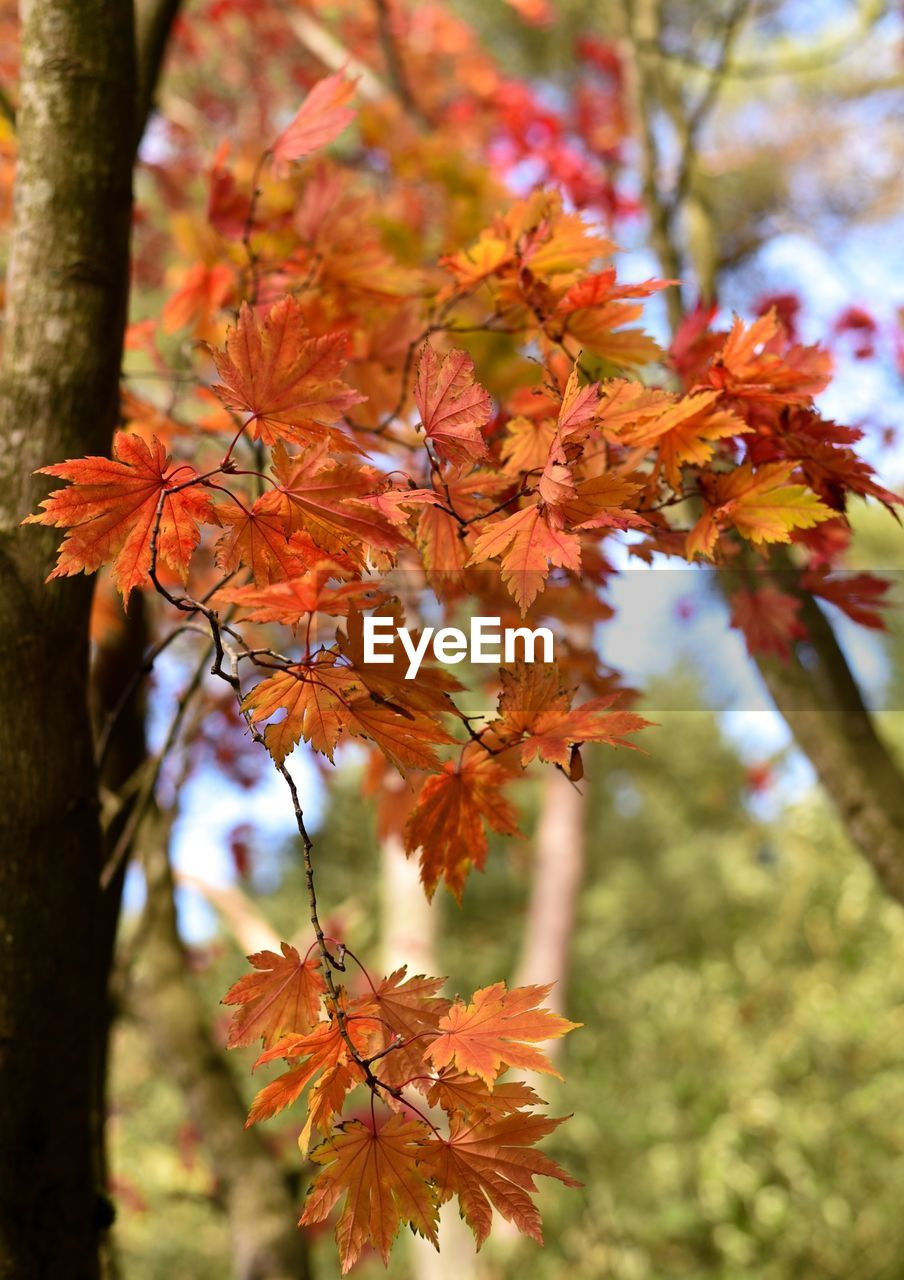 plant, autumn, orange color, change, focus on foreground, leaf, beauty in nature, plant part, tree, close-up, maple leaf, day, nature, no people, growth, branch, vulnerability, outdoors, fragility, maple tree, leaves, natural condition