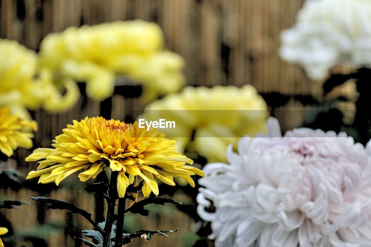 flower, yellow, freshness, fragility, petal, beauty in nature, flower head, no people, close-up, nature, focus on foreground, day, plant, outdoors, bouquet, blooming