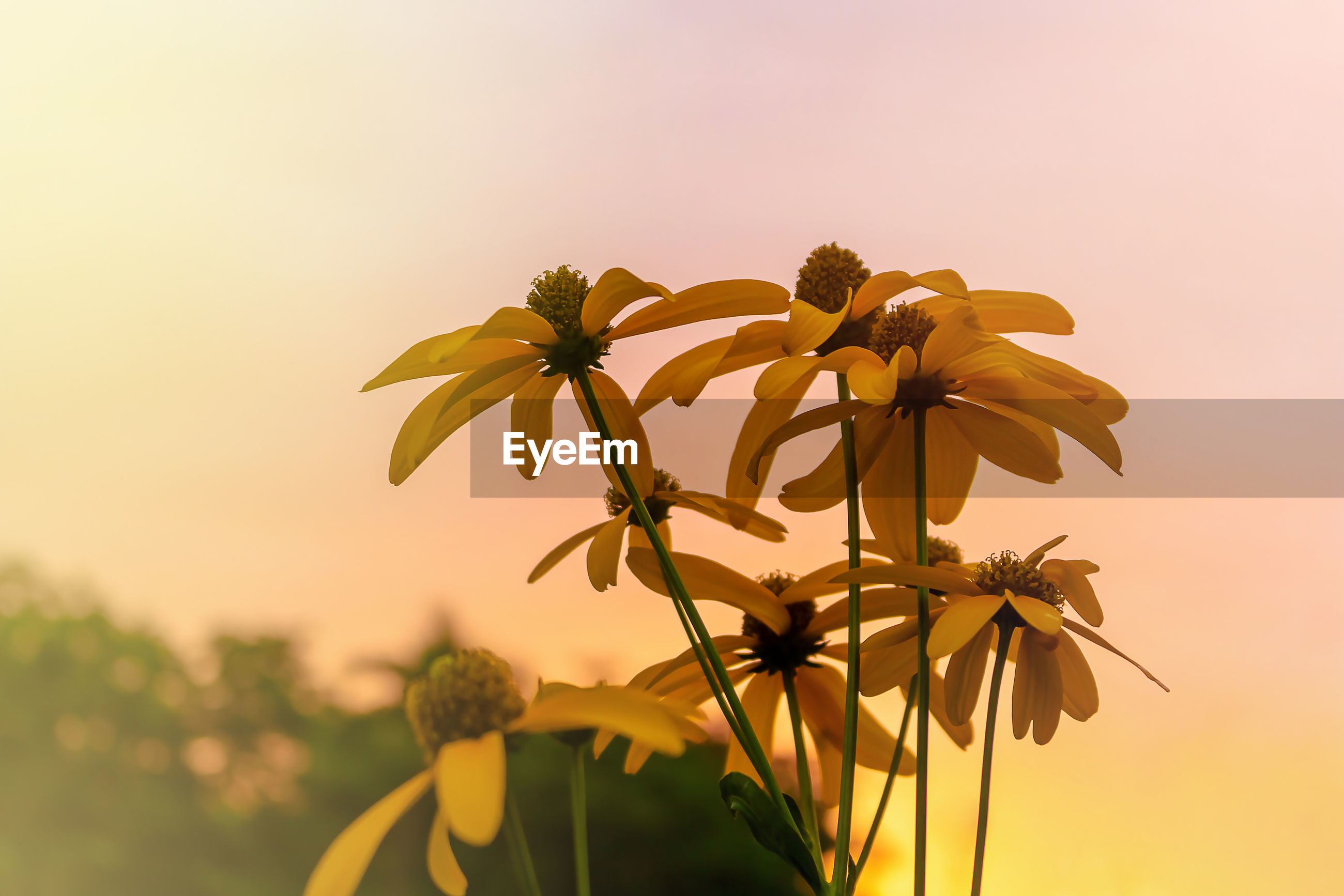 CLOSE-UP OF YELLOW FLOWERING PLANT AGAINST SKY AT SUNSET