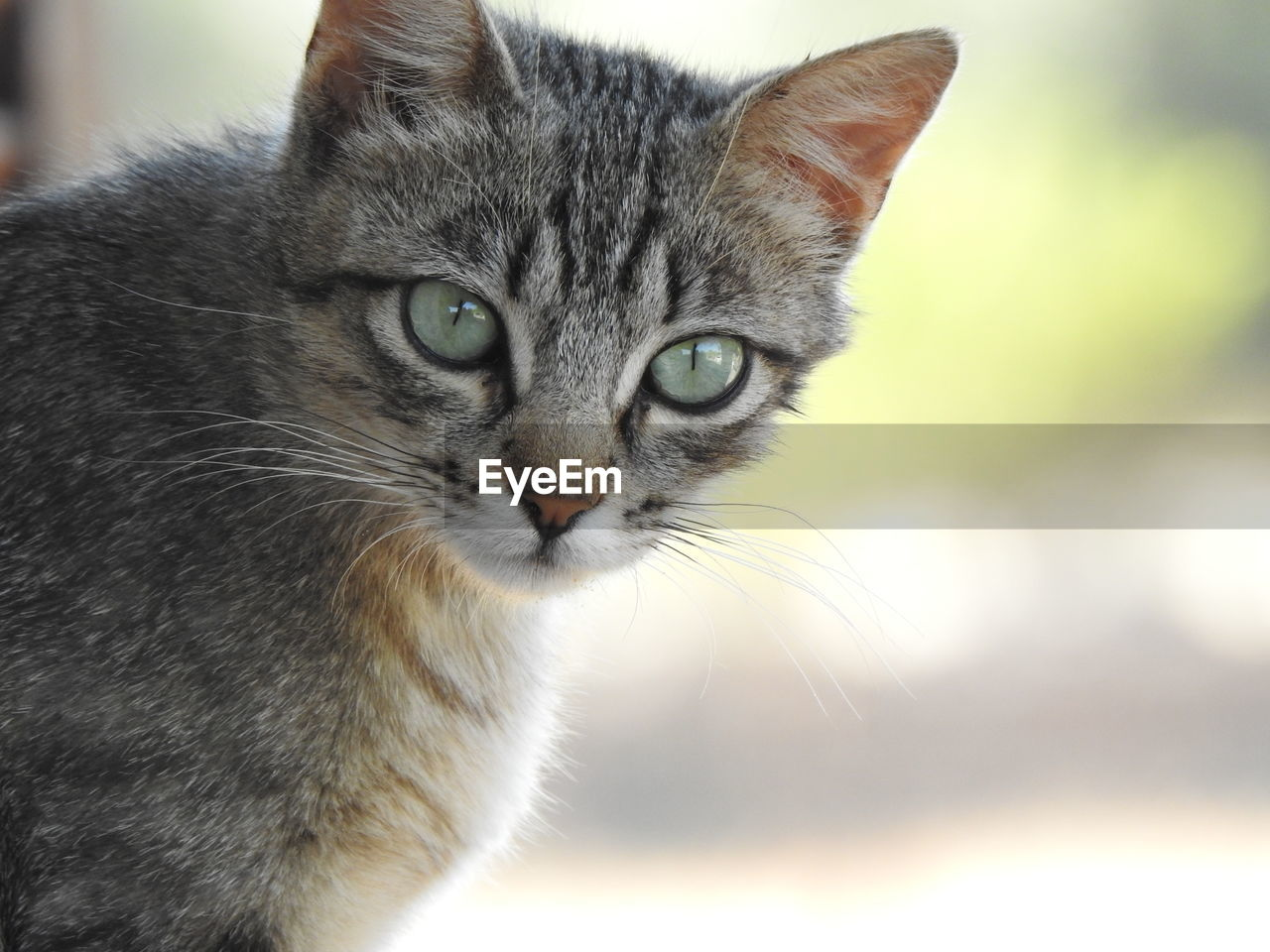 domestic, mammal, pets, cat, animal themes, animal, domestic animals, one animal, domestic cat, feline, vertebrate, whisker, close-up, focus on foreground, portrait, looking at camera, no people, animal body part, day, animal head, animal eye, yellow eyes, tabby