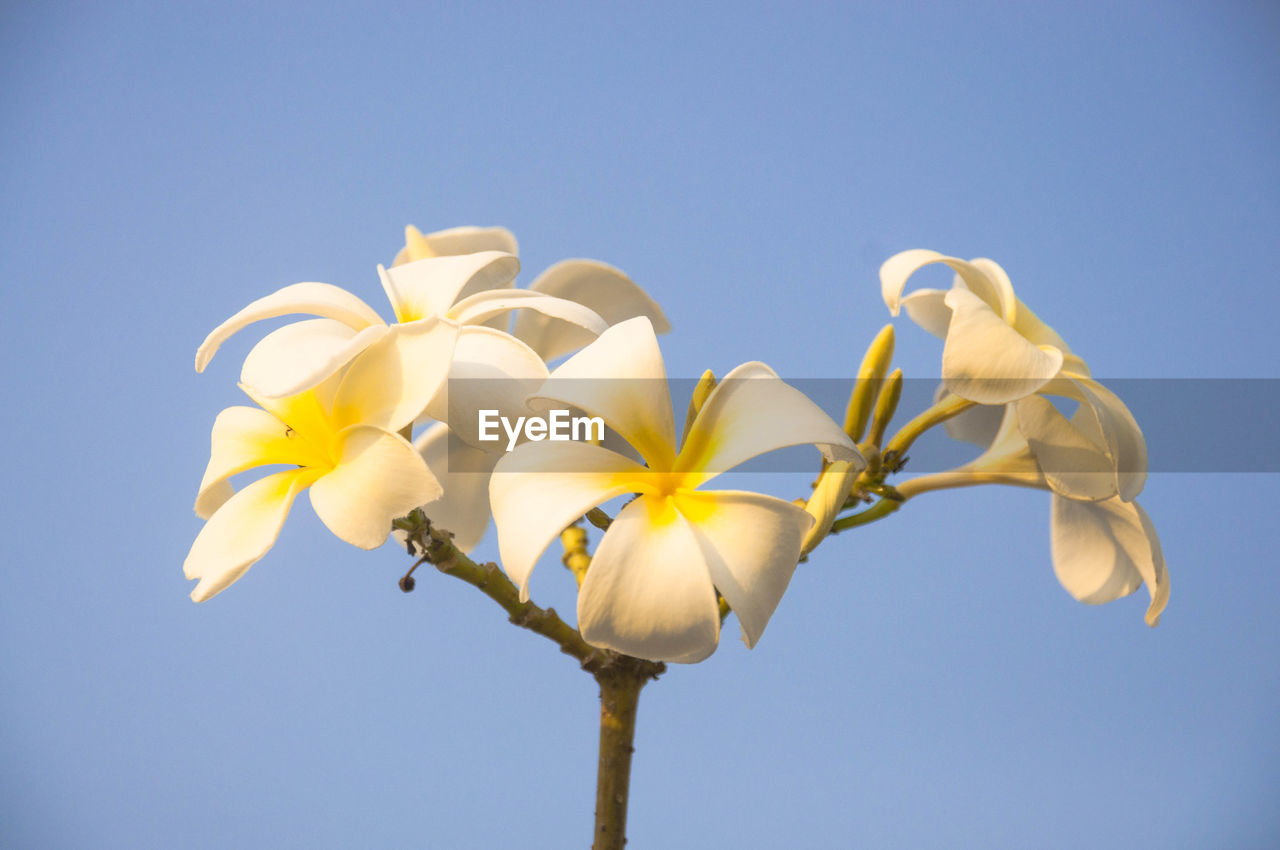 flower, flowering plant, sky, fragility, vulnerability, plant, low angle view, beauty in nature, freshness, clear sky, growth, nature, flower head, petal, inflorescence, close-up, no people, yellow, blue, copy space, outdoors, sepal