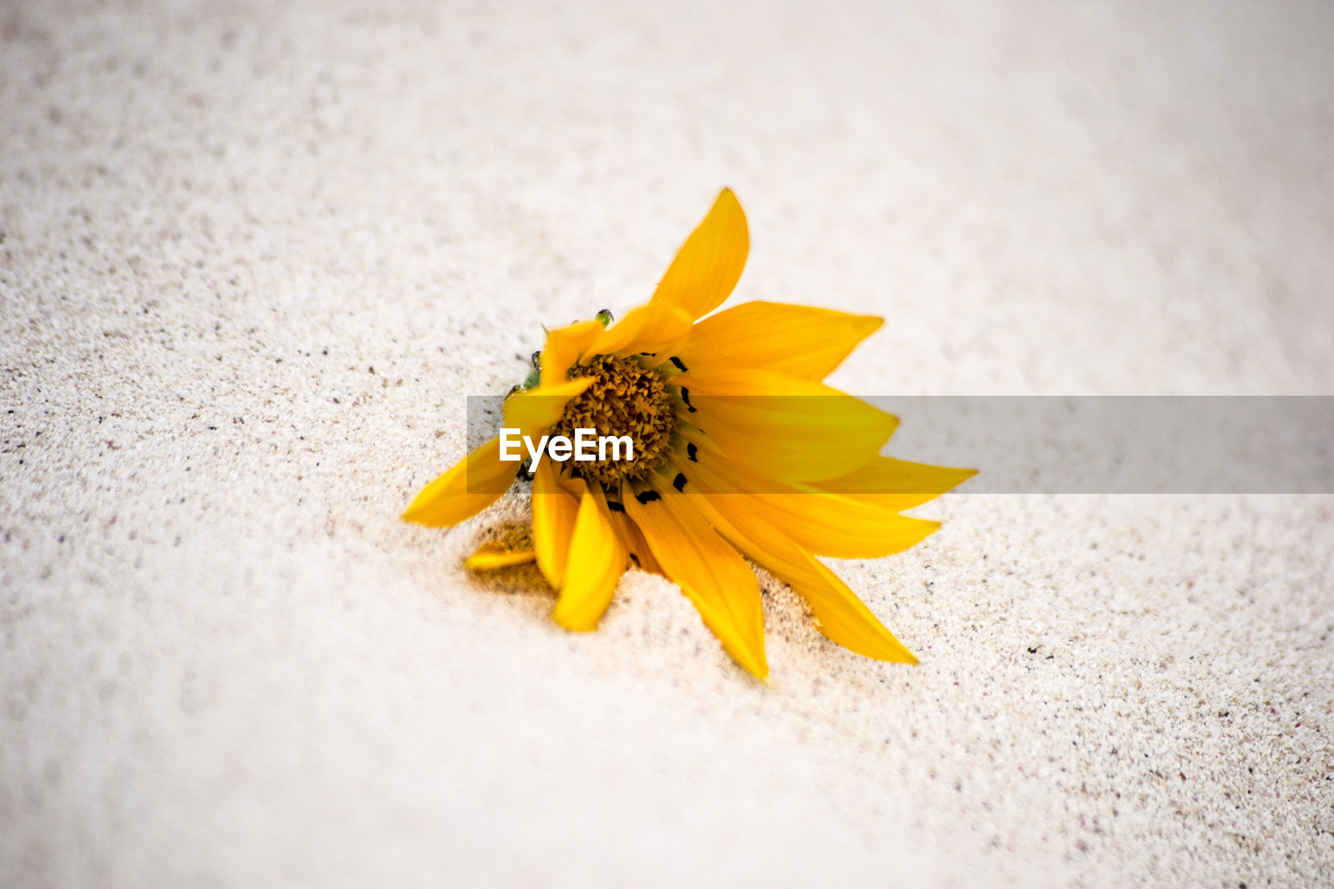 CLOSE-UP OF YELLOW FLOWER ON WHITE SURFACE