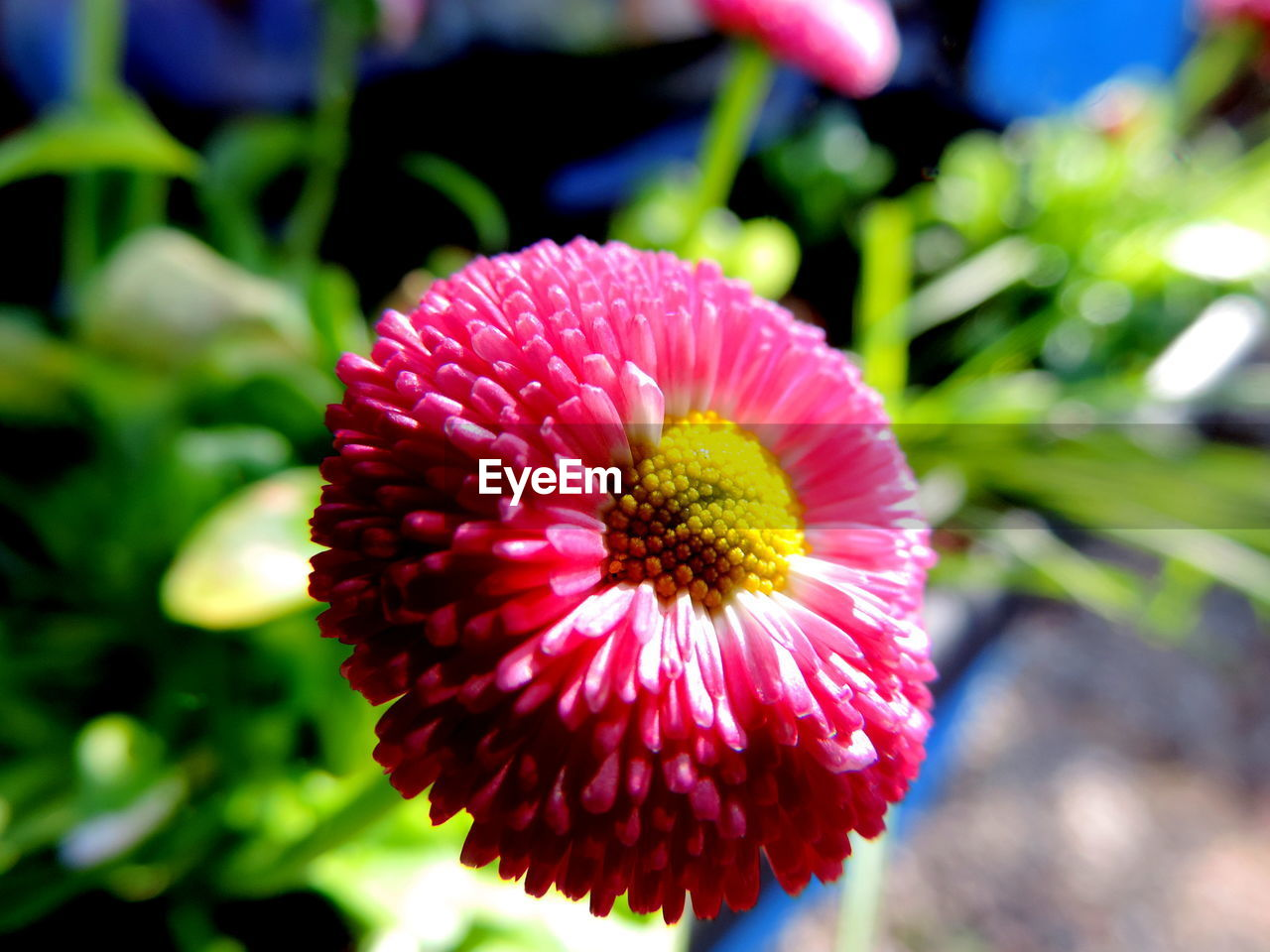 flowering plant, flower, plant, beauty in nature, flower head, fragility, vulnerability, freshness, inflorescence, petal, growth, close-up, focus on foreground, day, nature, pink color, no people, pollen, outdoors, gazania