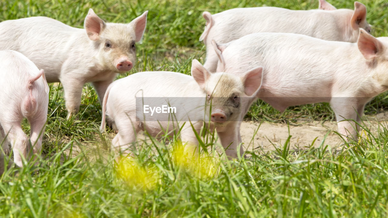 group of animals, animal themes, mammal, livestock, domestic animals, animal, piglet, young animal, pig, plant, grass, nature, domestic, pets, agriculture, no people, farm, field, land, cute, outdoors, animal family, herd