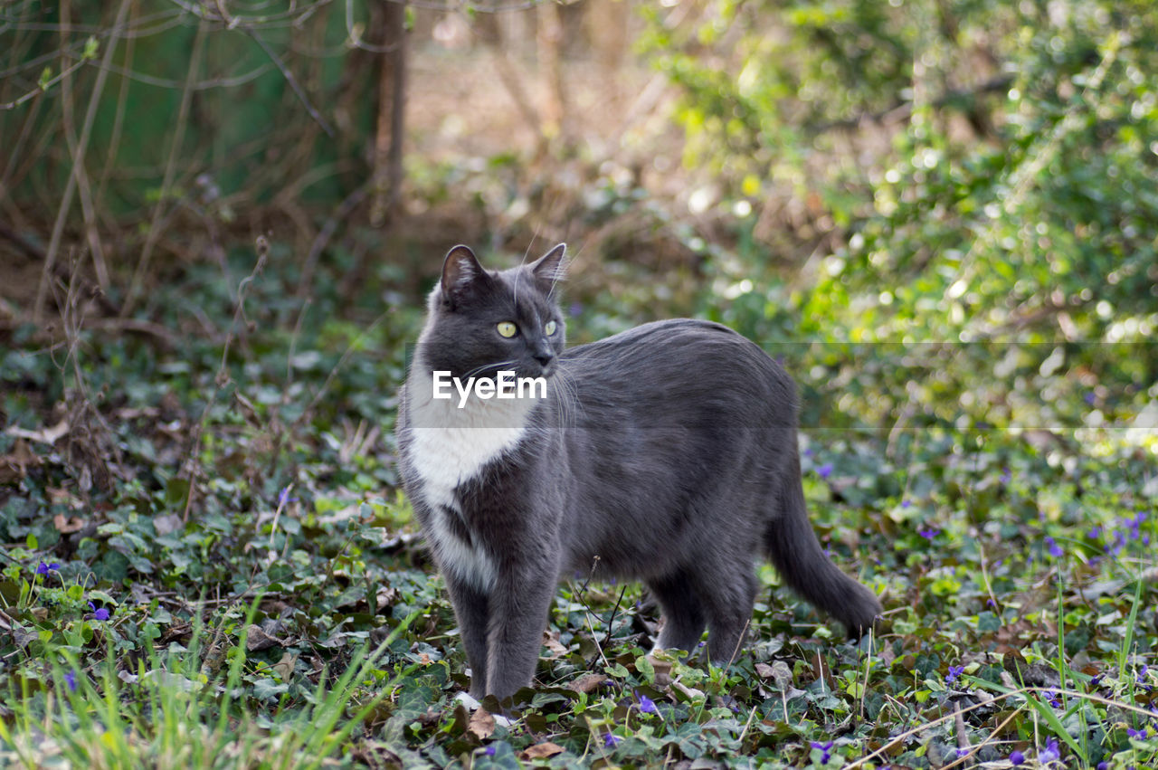 mammal, one animal, domestic, pets, domestic animals, vertebrate, cat, plant, feline, domestic cat, nature, land, no people, field, day, full length, standing, whisker