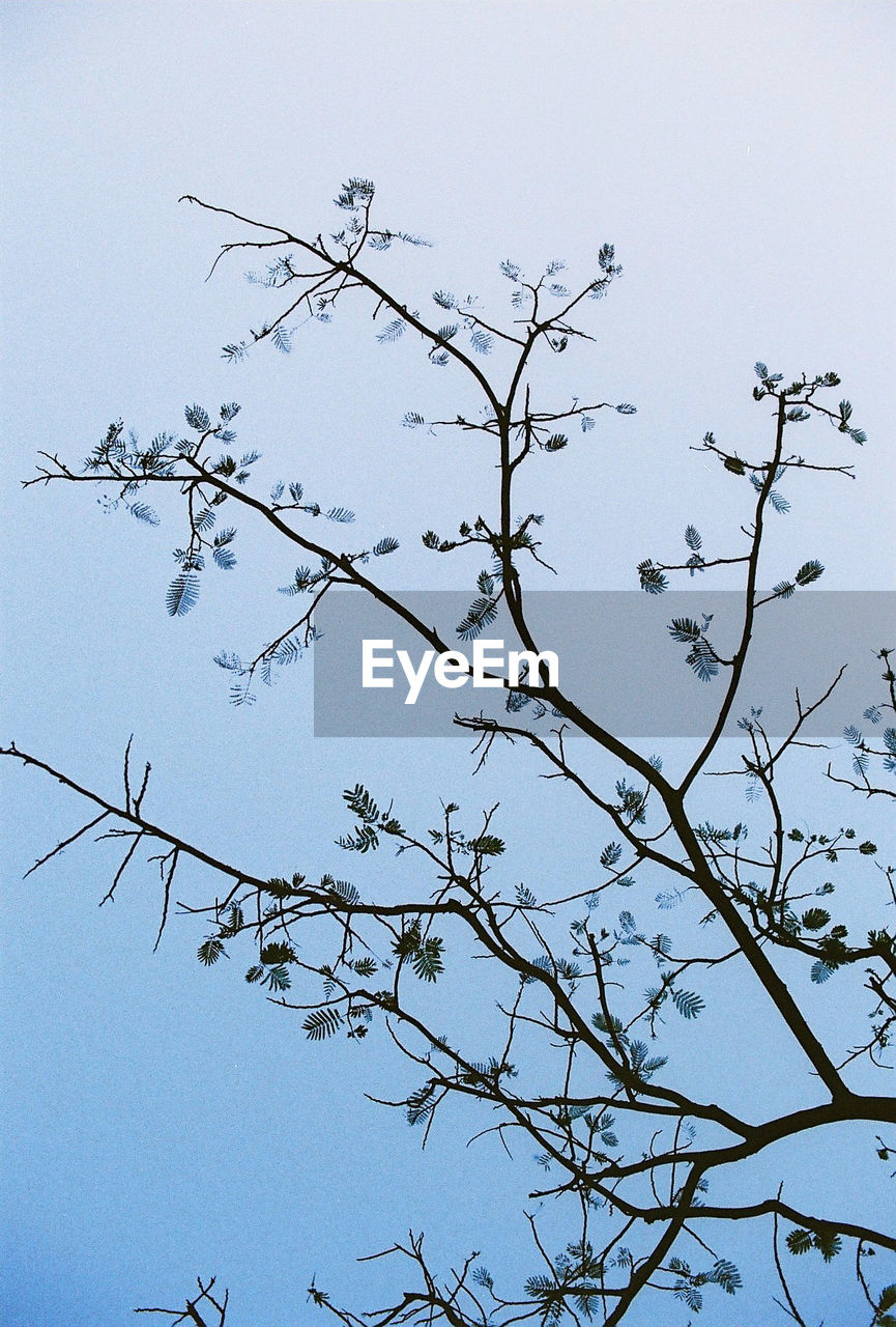 LOW ANGLE VIEW OF FLOWERS ON TREE AGAINST CLEAR SKY