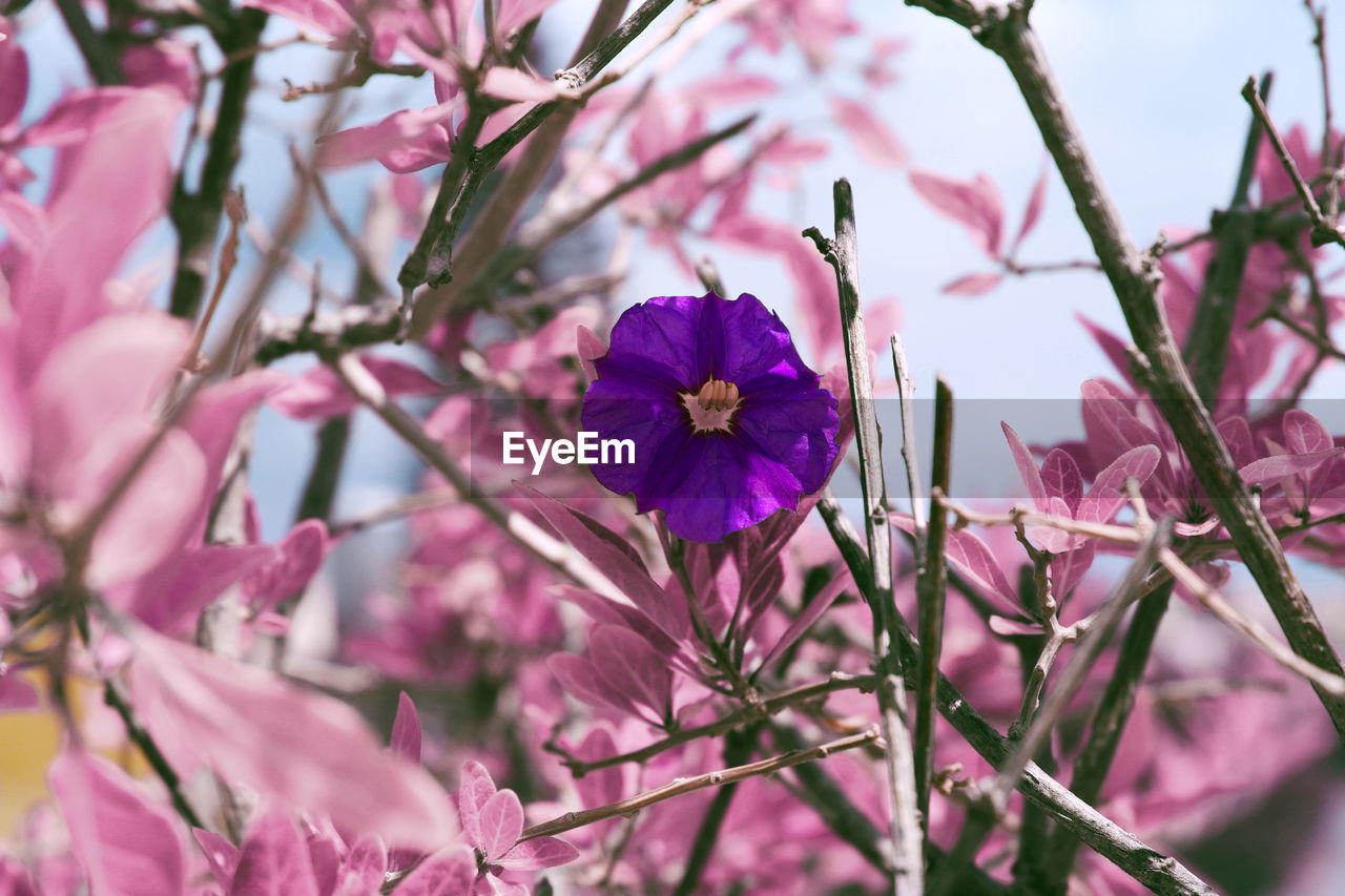 flower, pink color, fragility, petal, beauty in nature, growth, flower head, nature, freshness, no people, blossom, day, springtime, blooming, close-up, branch, outdoors, plant, tree