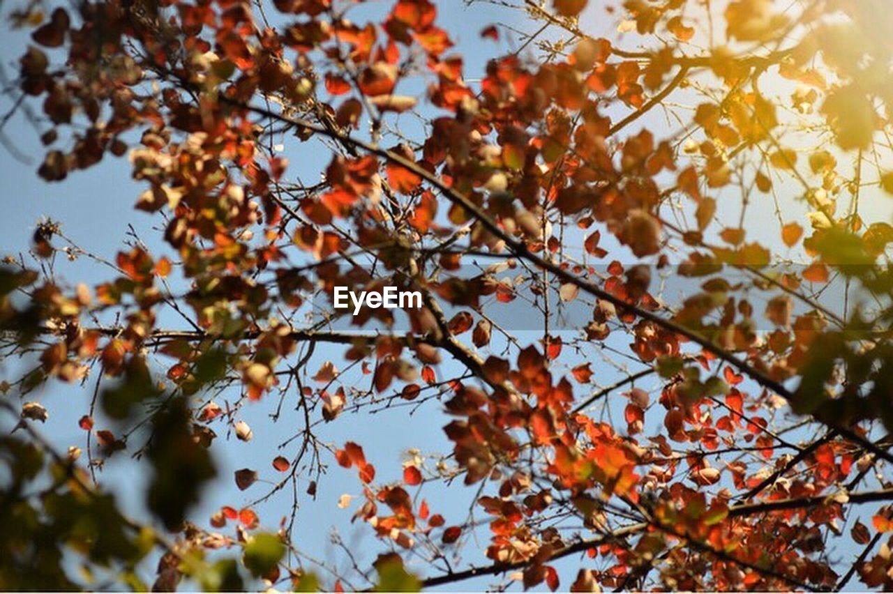 autumn, tree, leaf, nature, beauty in nature, branch, change, growth, maple tree, fruit, day, outdoors, low angle view, no people, maple leaf, scenics, freshness, sky, close-up, maple