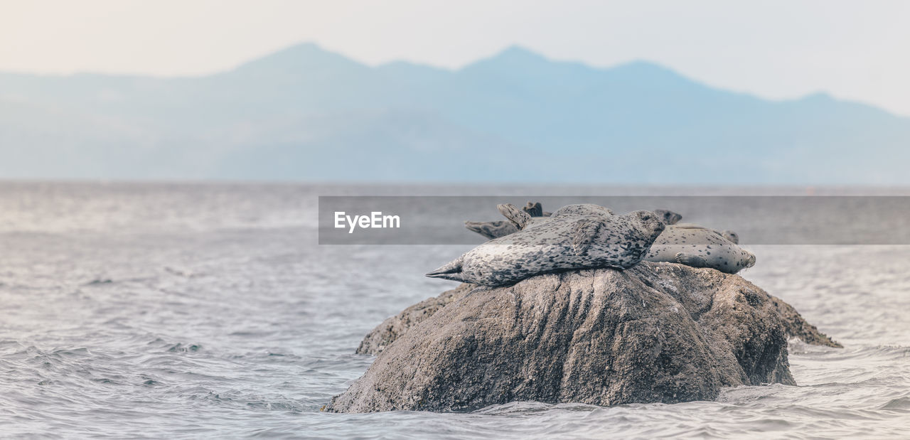 View Of Seal On Rock In Sea