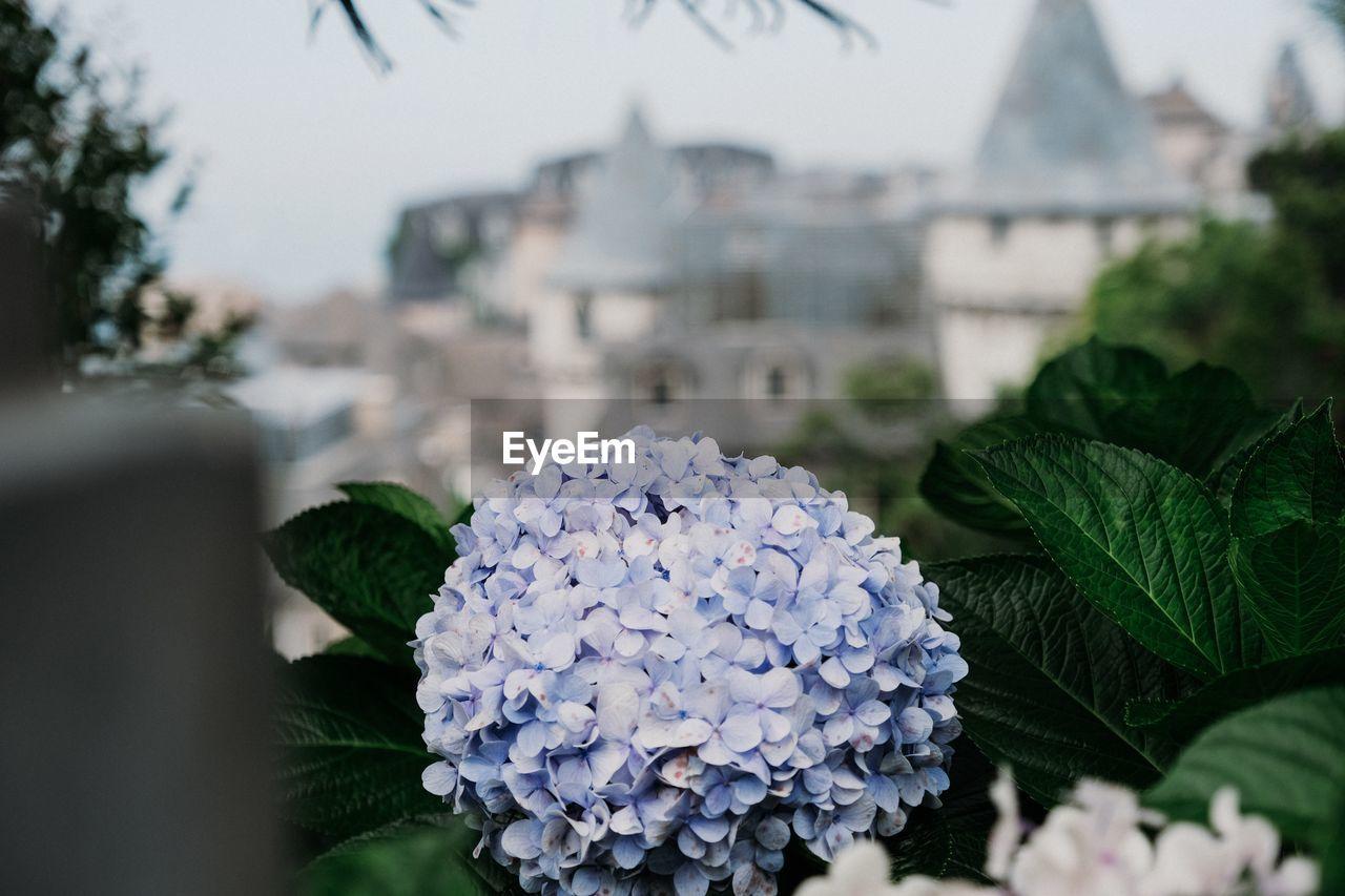 Close-Up Of Hydrangea Plant