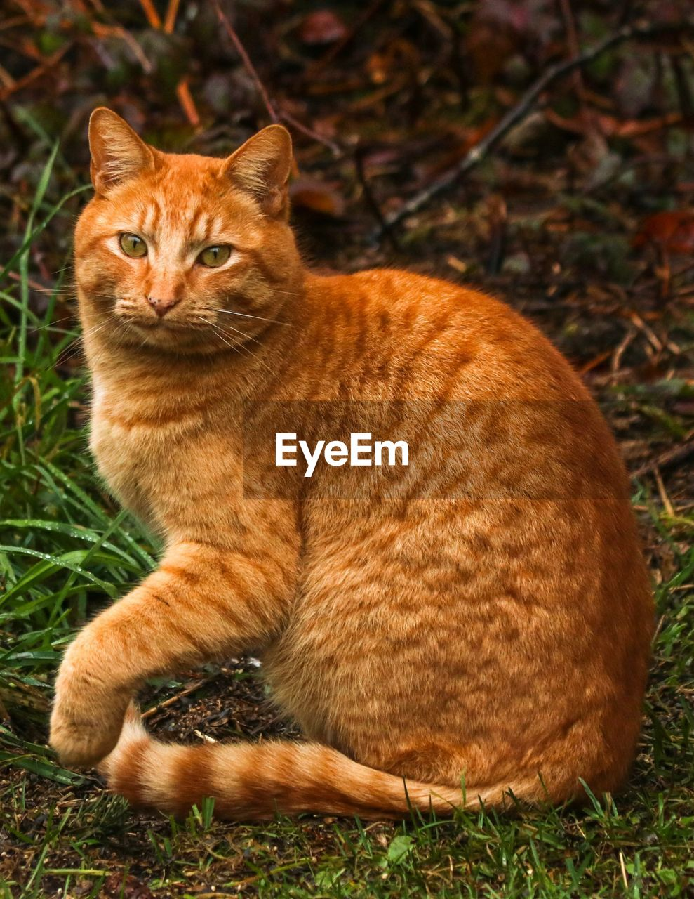 animal themes, animal, one animal, mammal, feline, cat, vertebrate, grass, pets, no people, sitting, domestic animals, domestic, nature, field, plant, day, land, domestic cat, looking at camera, ginger cat, whisker